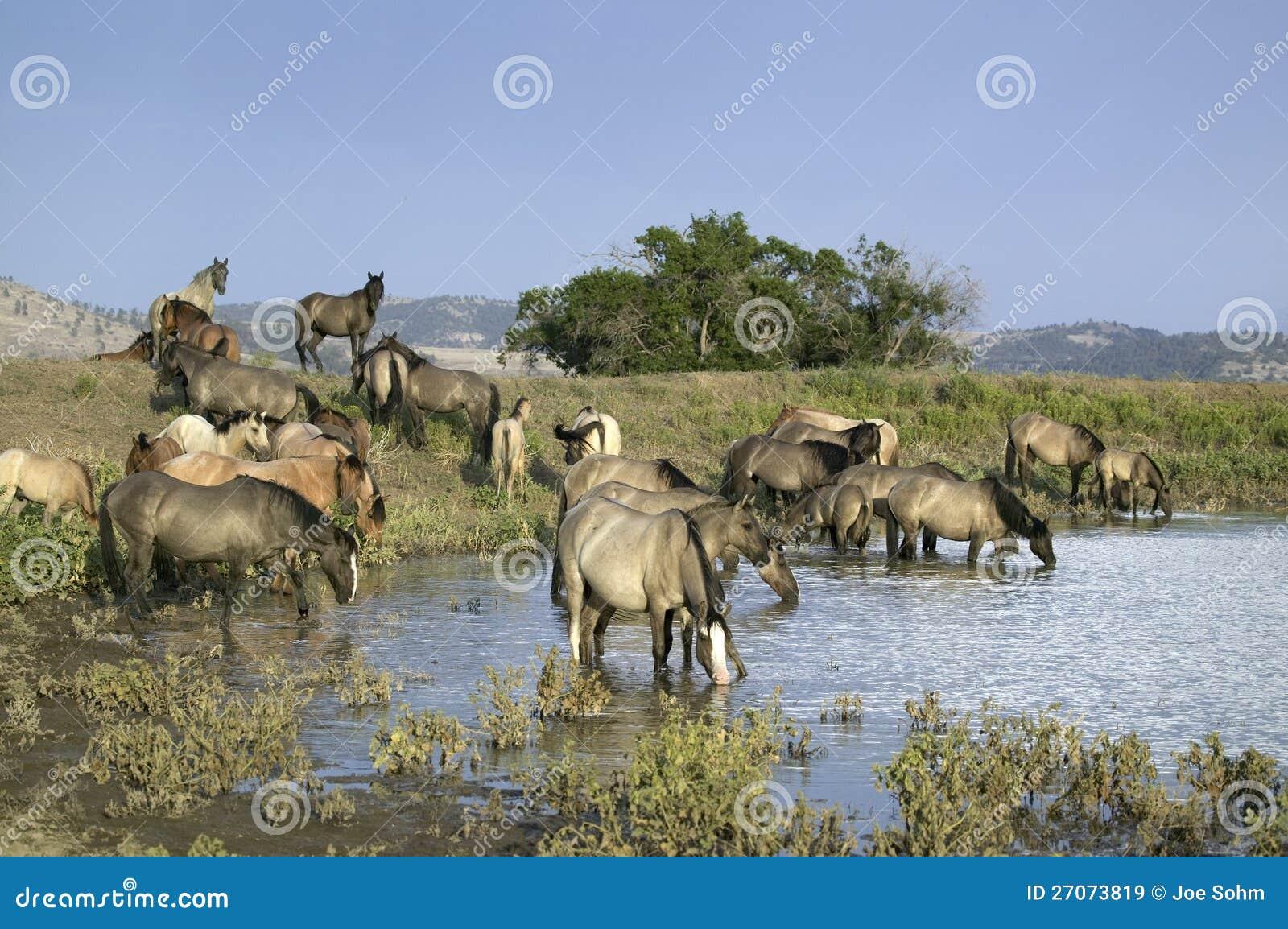 Large Group Of Wild Horses Stock Image Image Of Landscape 27073819
