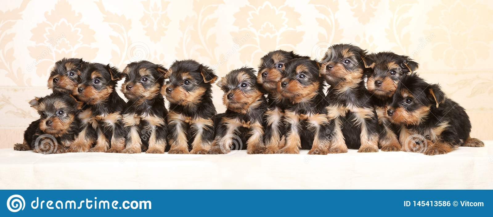Large group of Yorkshire Terrier puppies