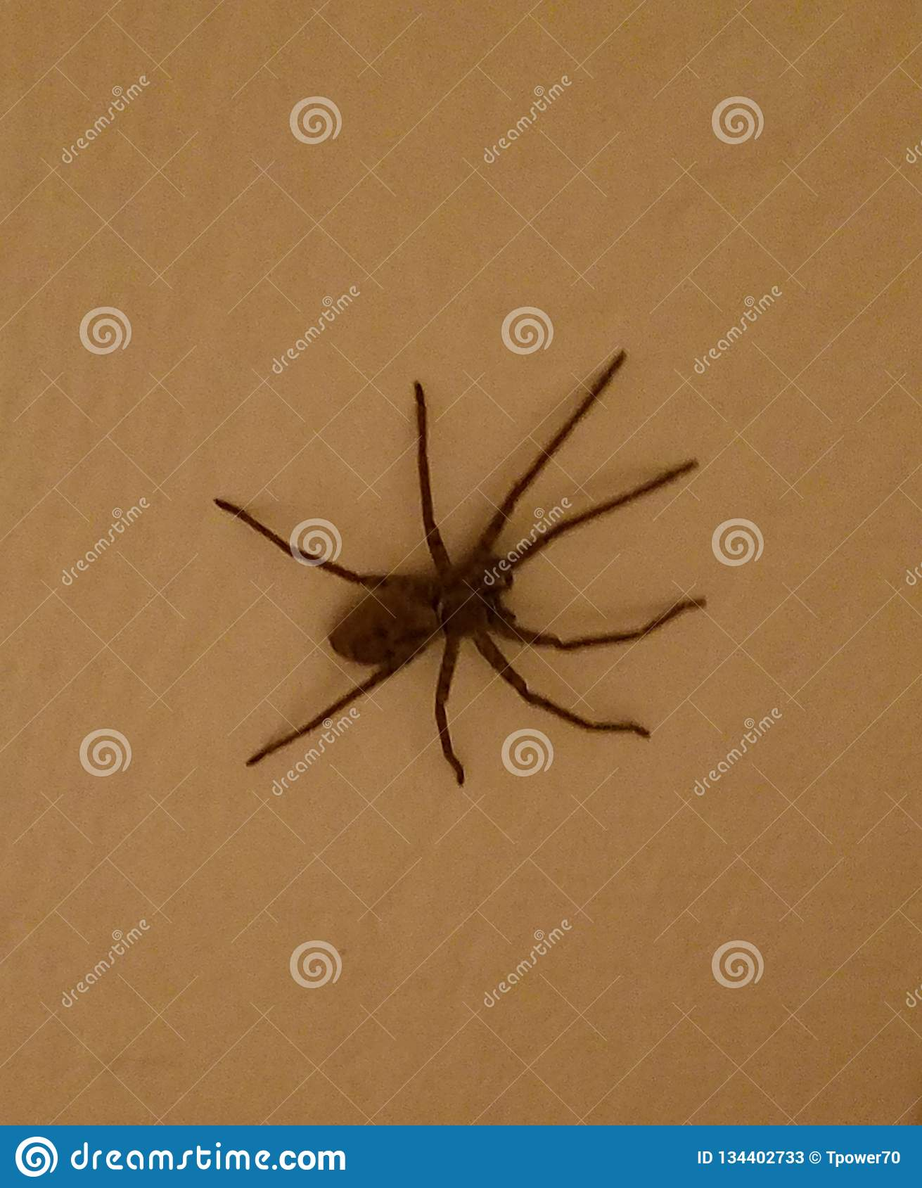Large Hairy Cane Spider Resting On A Wall Stock Image Image Of
