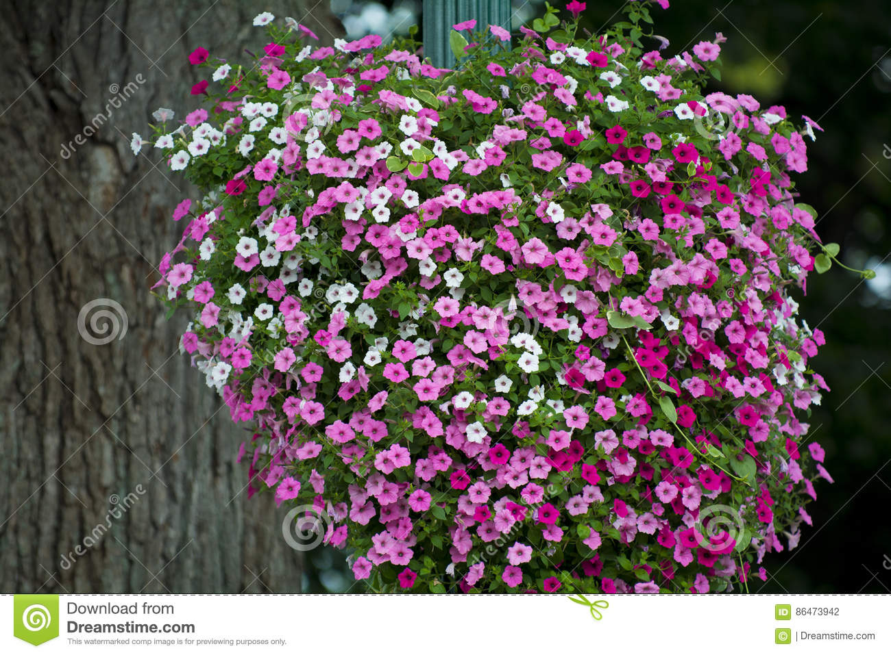 Large Hanging Basket Of Flowers Stock Photo Image Of Flowering