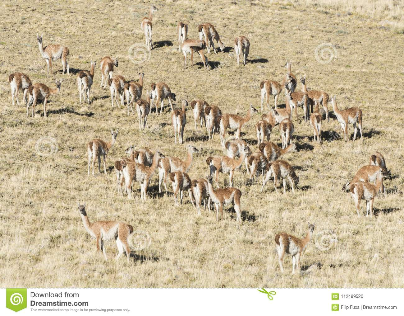 f02adf123 Large herd of wild curious guanaco lamas Lama guanicoe in the endless grass  pampas of Tierra del Fuego, Argentina