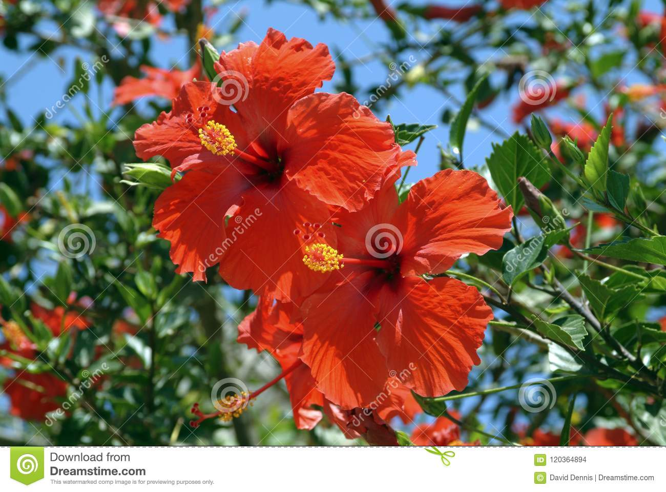 Large Hibiscus Shrub With Double Red Trumpet Shaped Flowers Stock