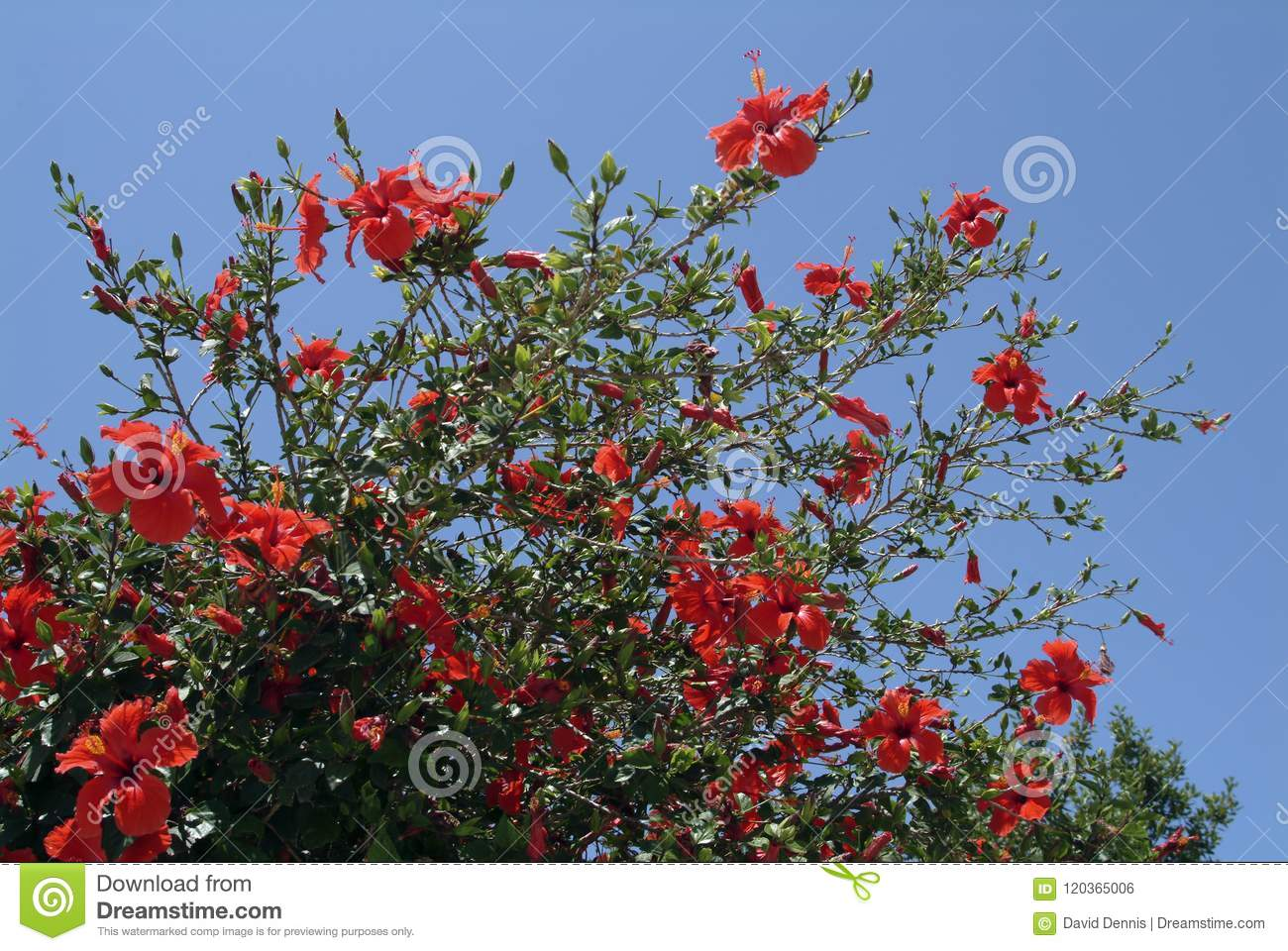 Large Hibiscus Shrub With Red Trumpet Shaped Flowers Stock Photo