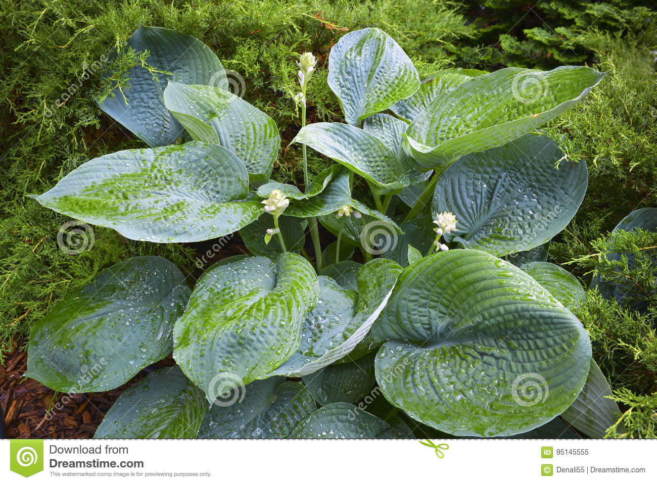 Large Hosta In Garden Stock Image Image Of Color Growing 95145555
