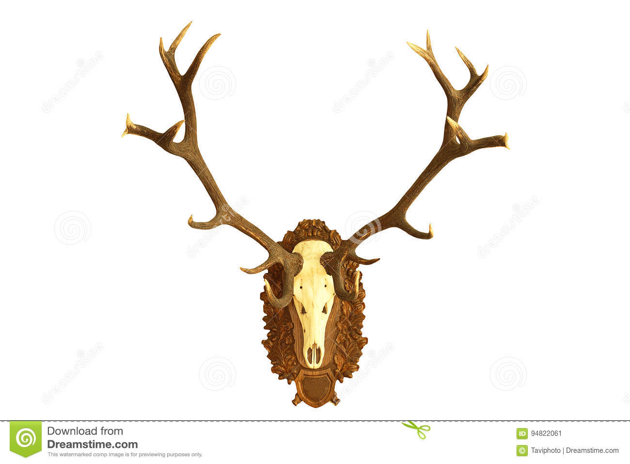 Large Hunting Trophy Of Red Deer Stag Stock Image Image Of Anatomy