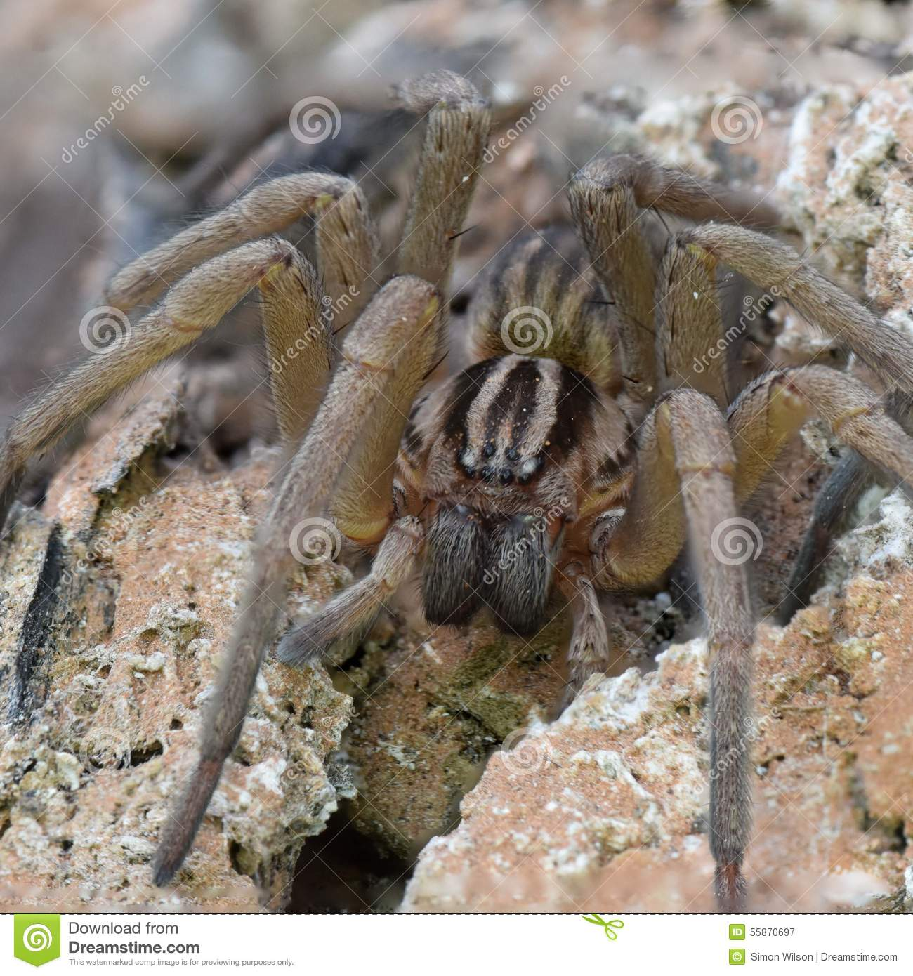 Large Huntsman Spider Stock Photo 55870697 - Megapixl