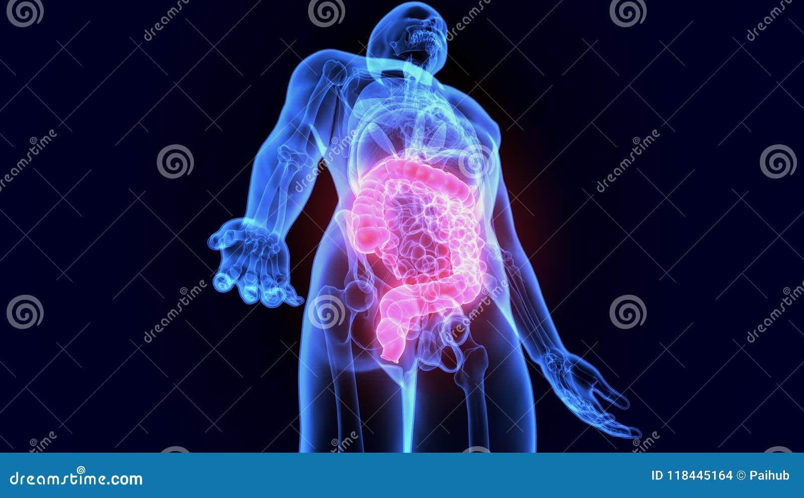 3d Illustration Of Human Digestive System Anatomy Large Intestine