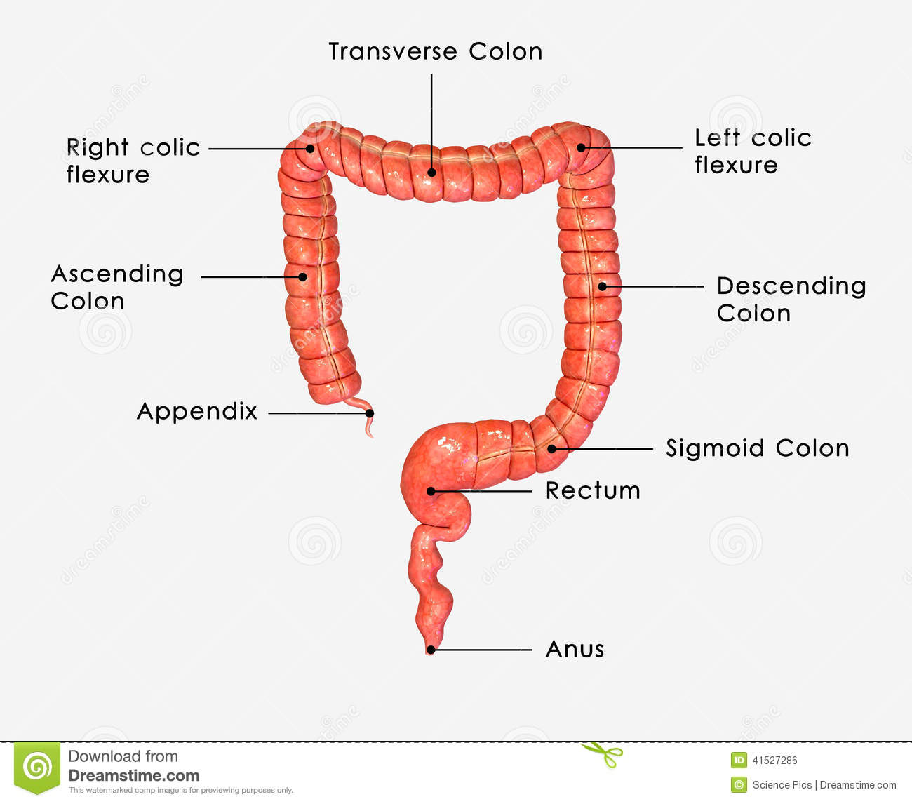 large intestine Being an indispensable part of human digestive system, the large intestine function is to absorb some of important elements of food, read the rest here.