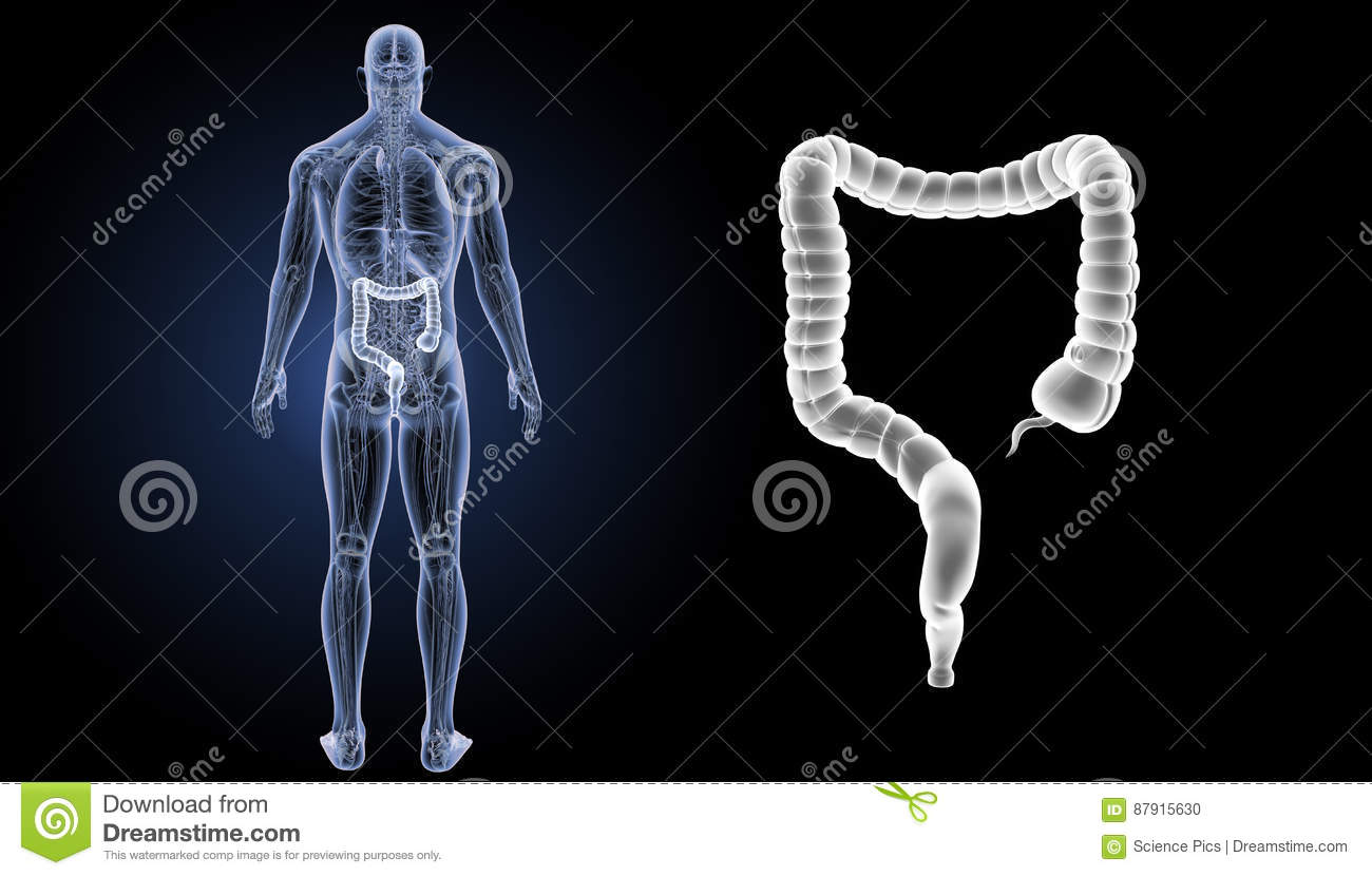 Large Intestine Zoom With Anatomy Posterior View Stock Illustration