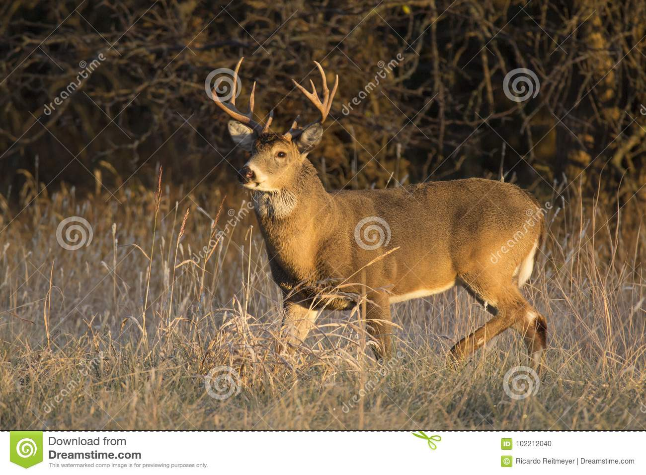 This large Kansas Whitetail Buck was searching for doe`s along a tree line in late Autumn.