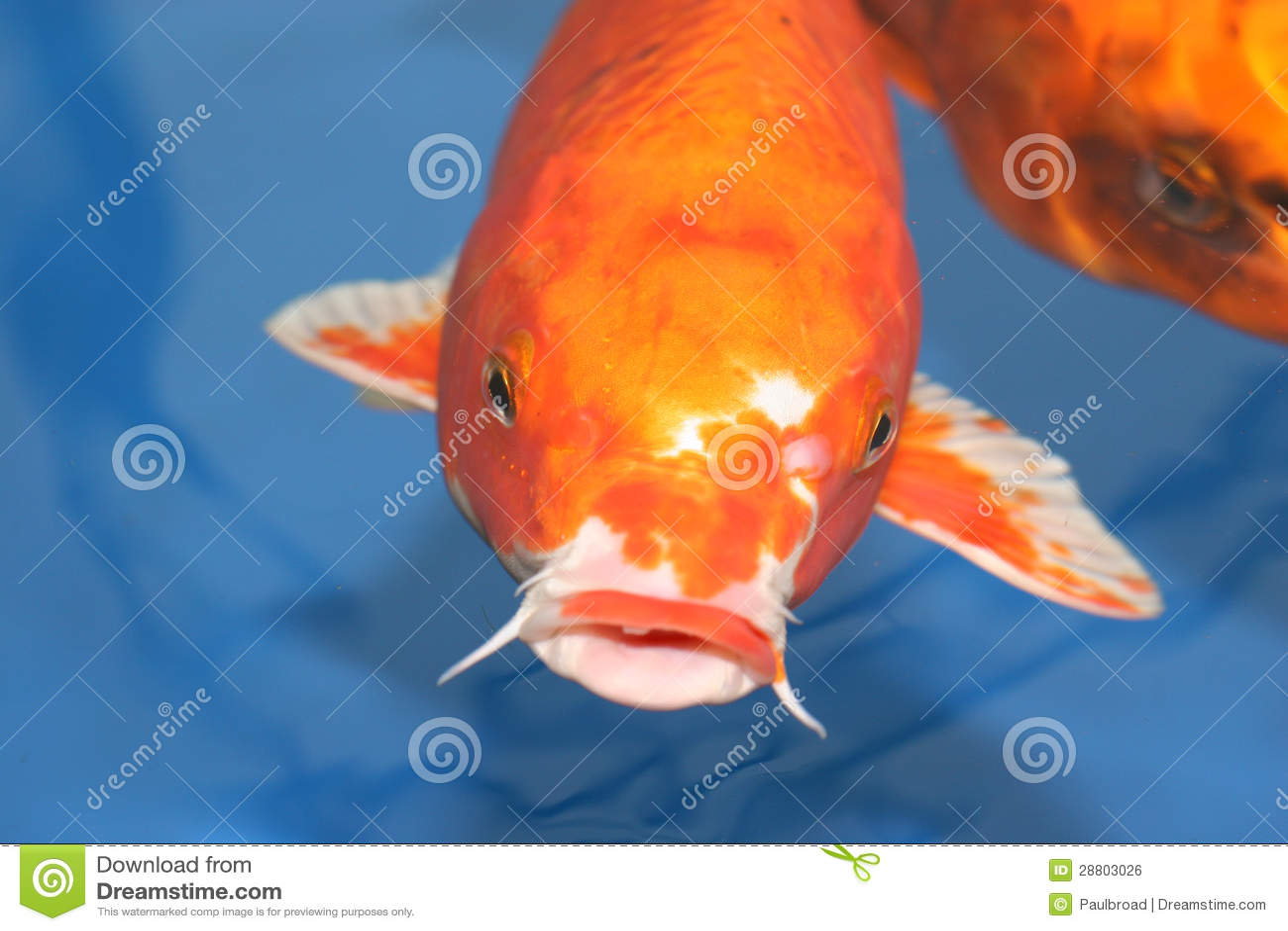 Large koi carp royalty free stock image image 28803026 for Koi fish head