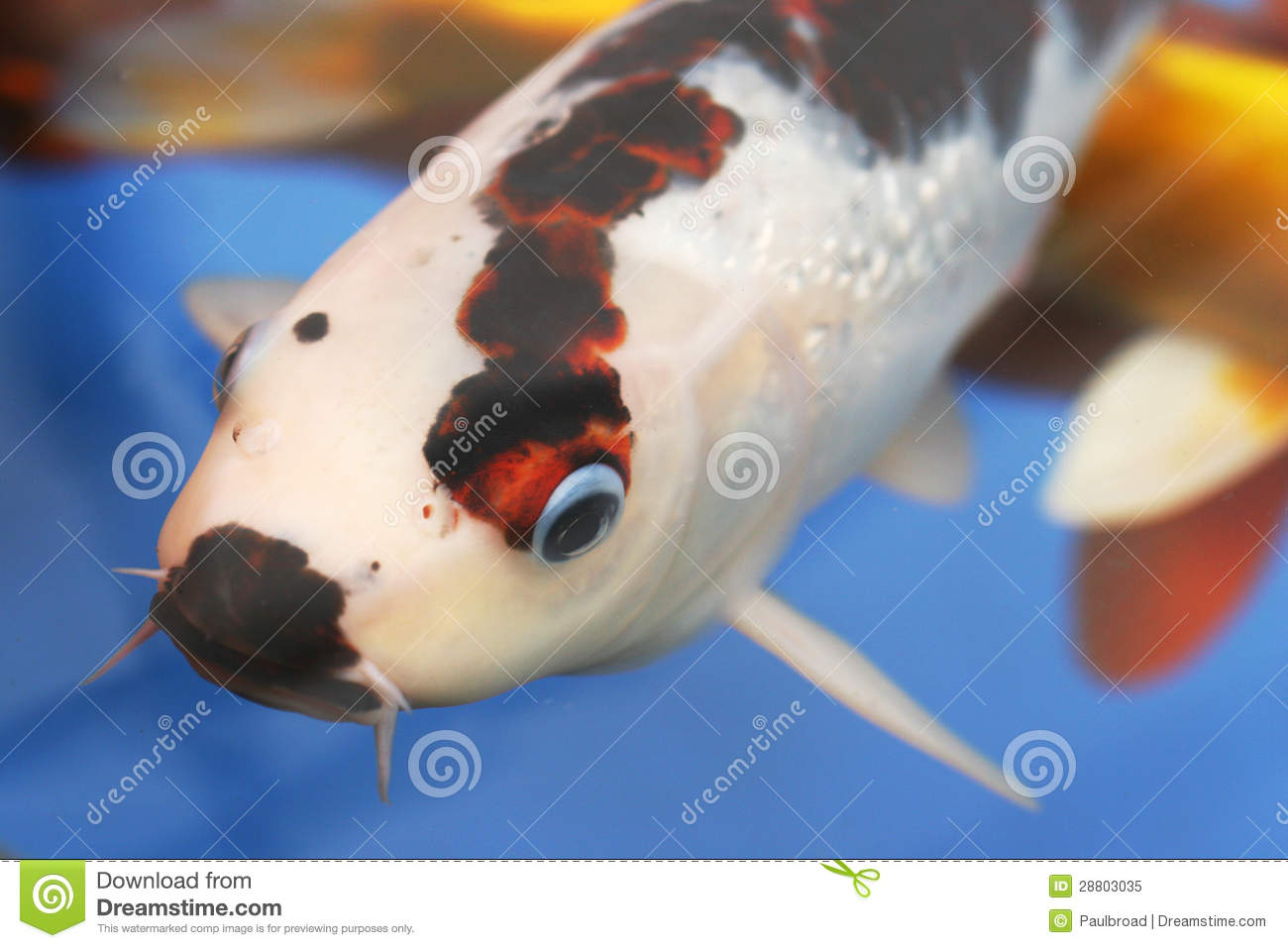 Large koi carp royalty free stock photo image 28803035 for Large koi carp