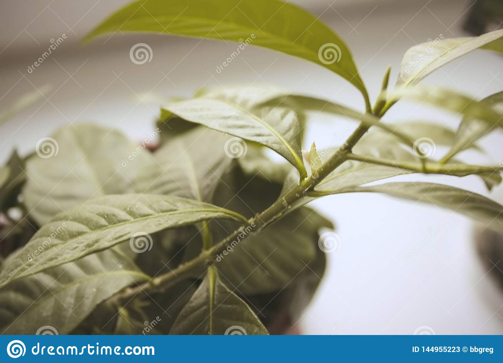 Large Leaves Indoor Plant Closeup In Soft Blurred Style For Background Stock Image Image Of Green Interior 144955223