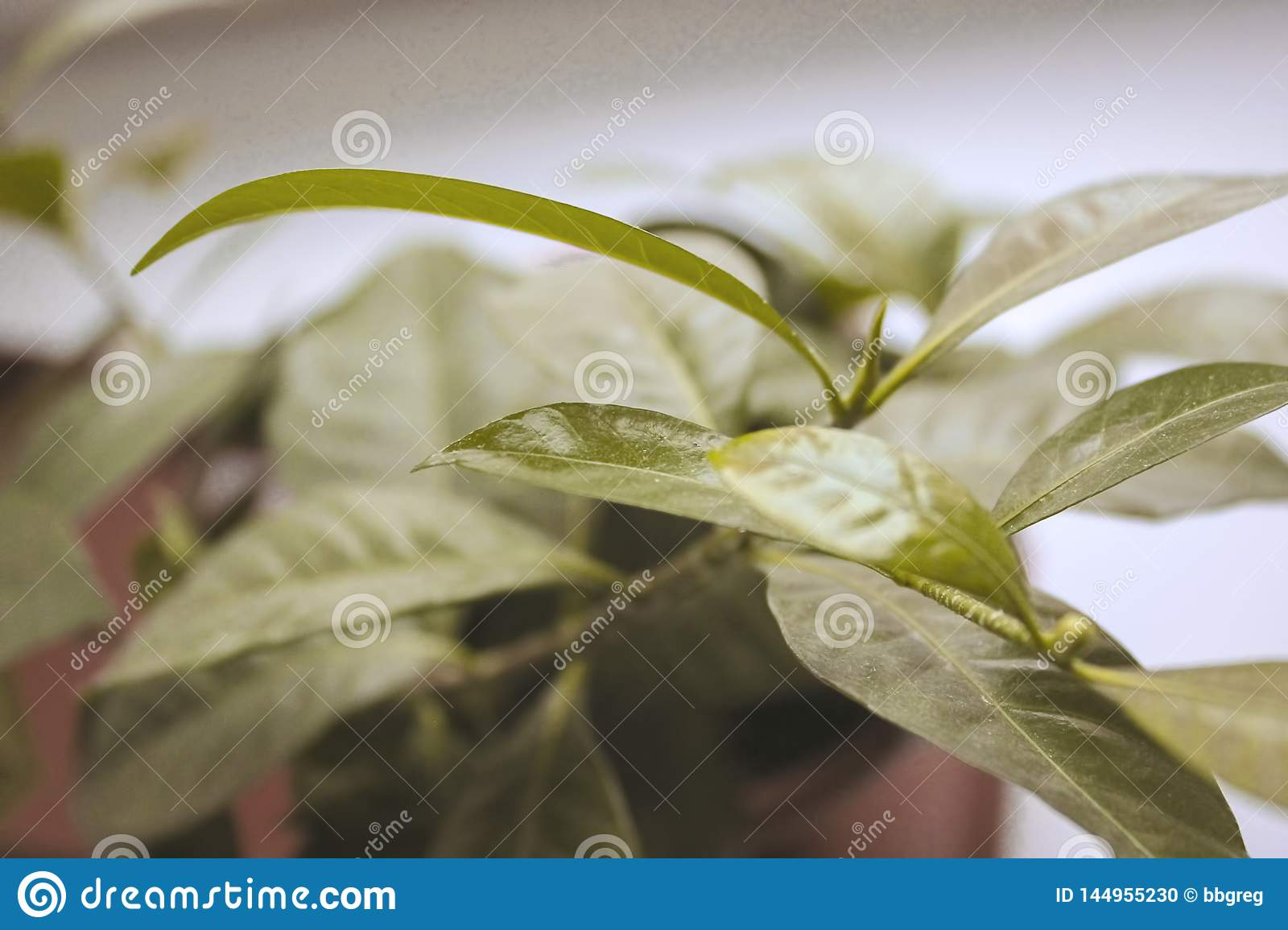 Large Leaves Indoor Plant Closeup In Soft Blurred Style For Background Stock Photo Image Of Colorful Home 144955230