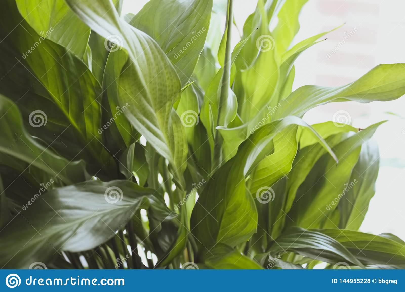 Large Leaves Of Spathiphyllum Illuminated By Bright Sunlight Indoor Plant Closeup In Soft Blurred Style For Background Stock Photo Image Of Background Colorful 144955228