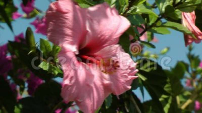 Large Pink Hibiscus Flower Stock Video Video Of Skies 116923865