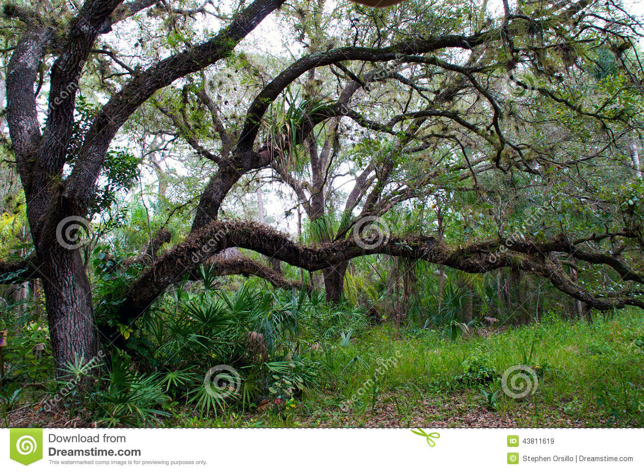 Planting An Oak Tree Best Time : Large low growing oak tree winter surrounded tropical plants trees