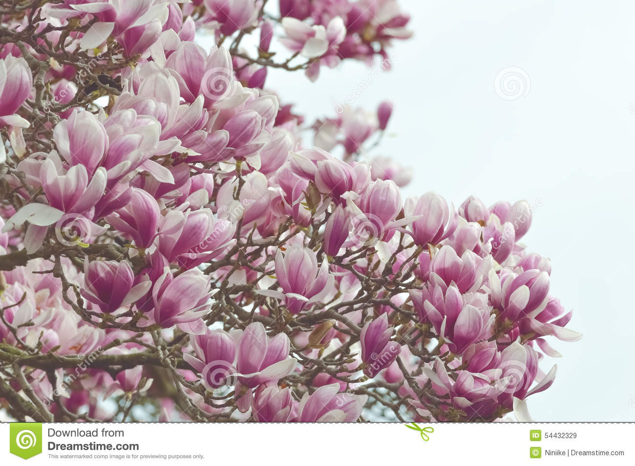 Large Tree With White Flowers Images Fresh Lotus Flowers