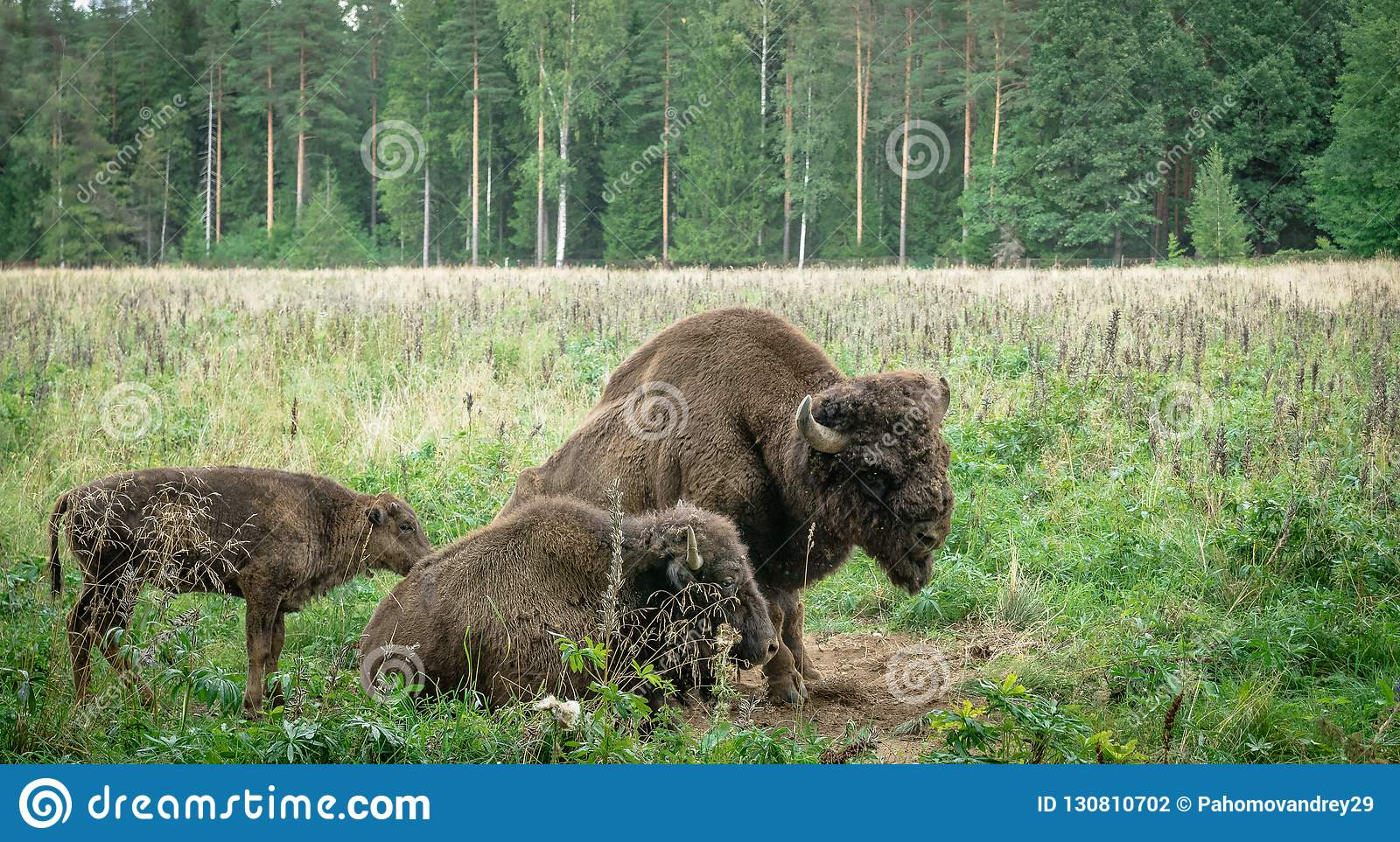 Large male and cub of the American bison in the national park