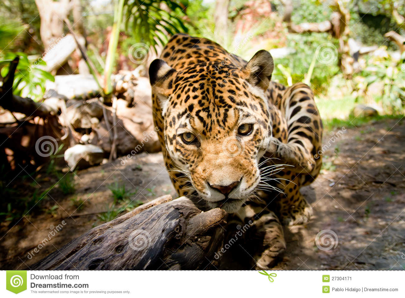 large male jaguar jumping towards camera stock image