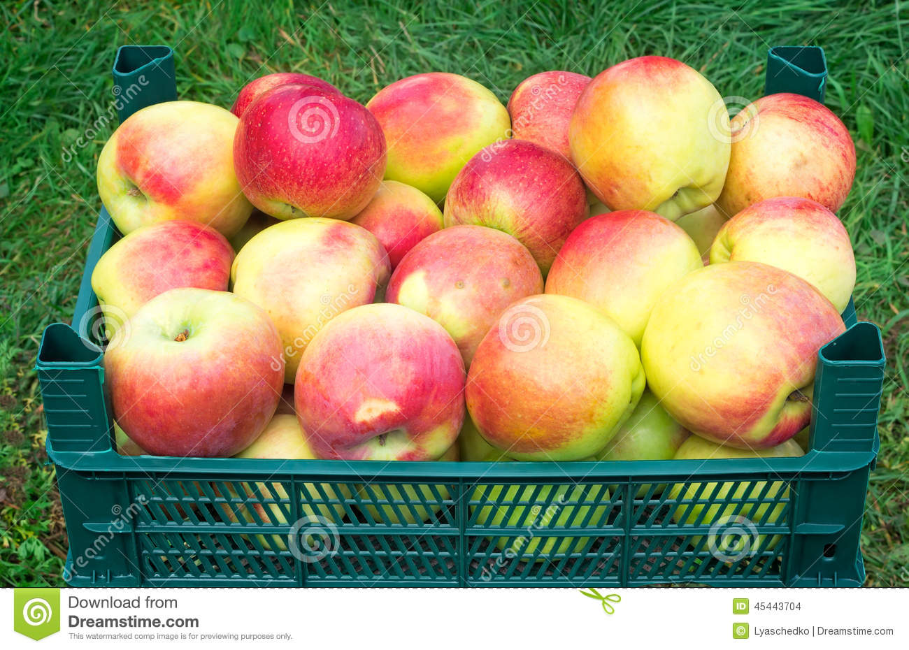 Large Mature Apples In The Container For Storage.