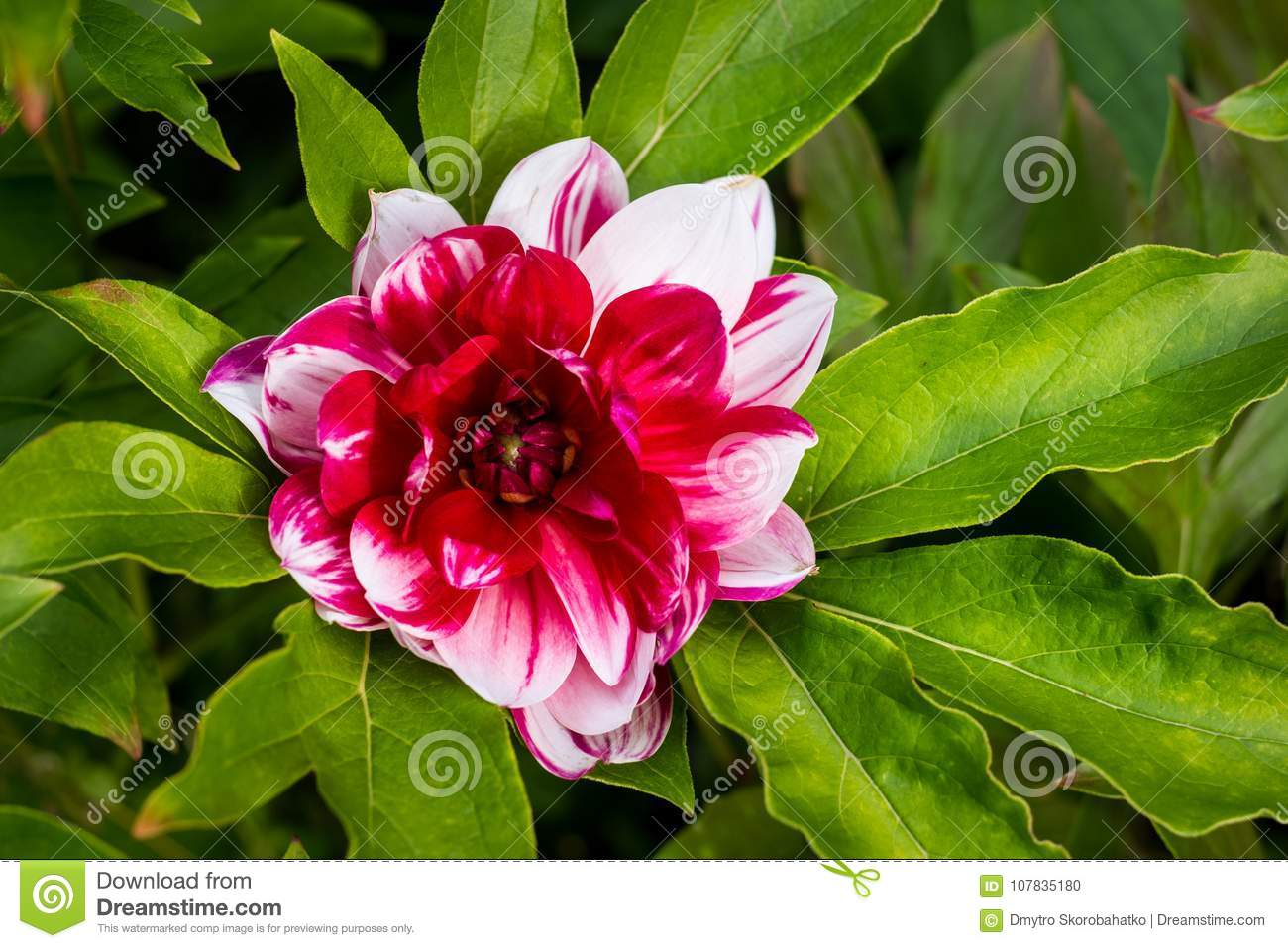 A large multicolored dahlia flower on the leaves stock photo image a large multicolored dahlia flower on the leaves izmirmasajfo
