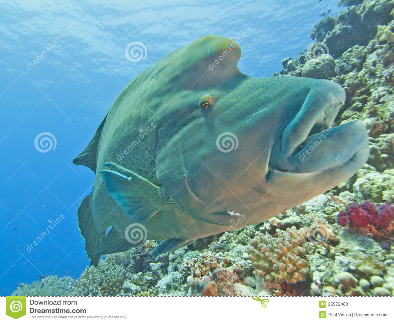 Download Large Napoleon Wrasse On A Reef Stock Image - Image of male, solitary: 25572463