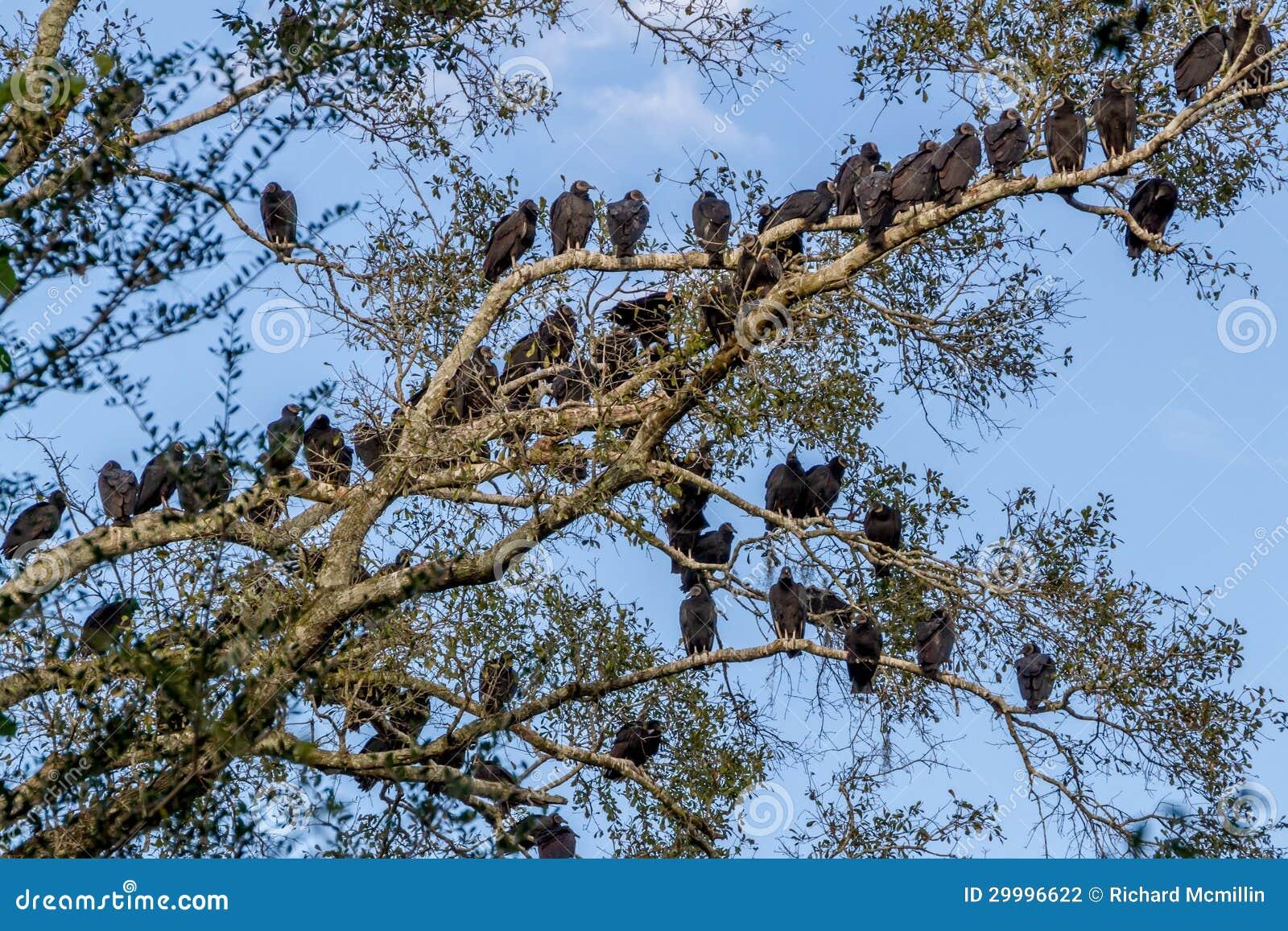 Habitat on web habitat technology group - Large Number Of Buzzards Social Birds Of Opportunity
