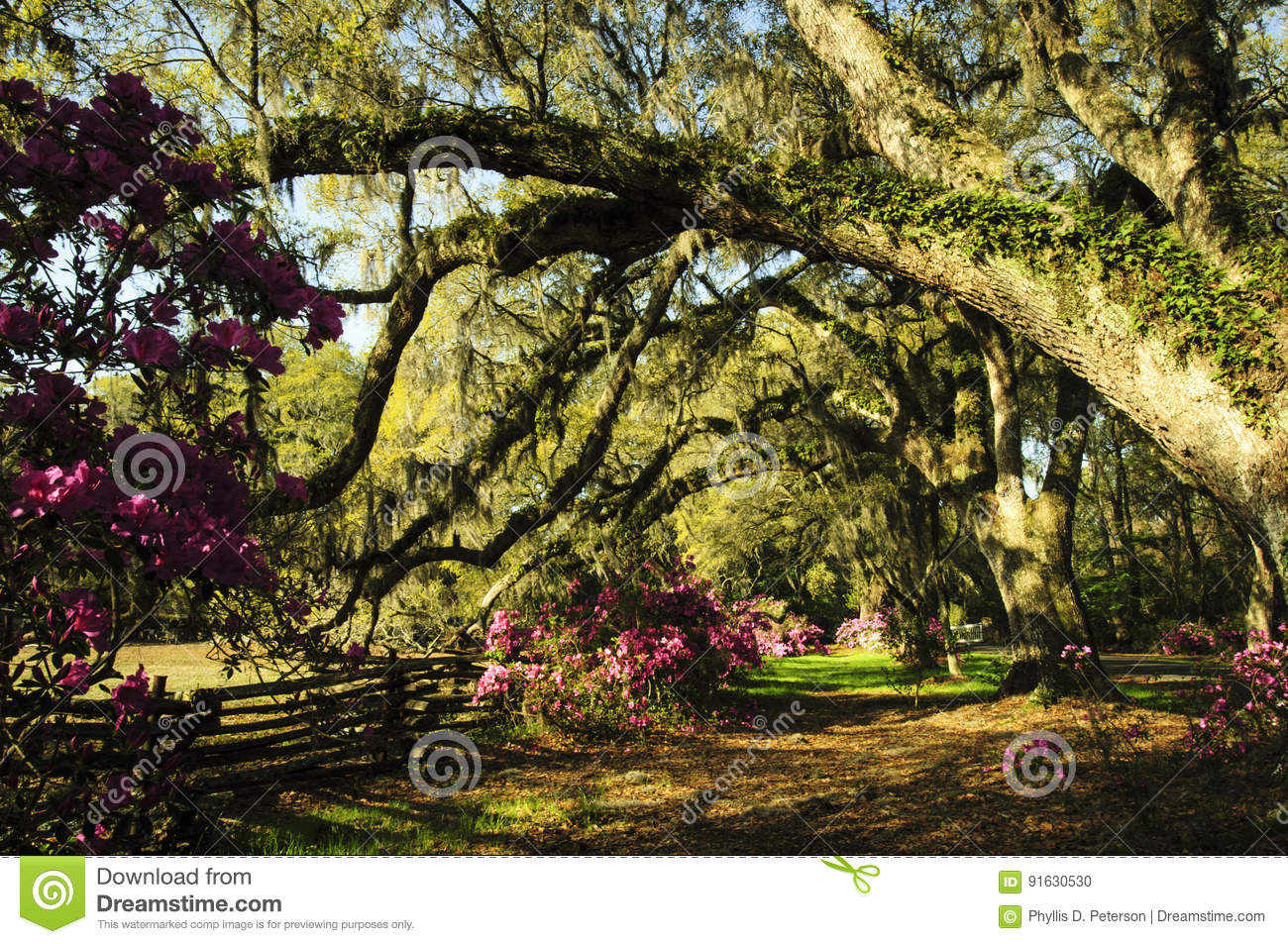 Large Old Live Oak Trees Dripping With Spanish Moss And Ferns In ...