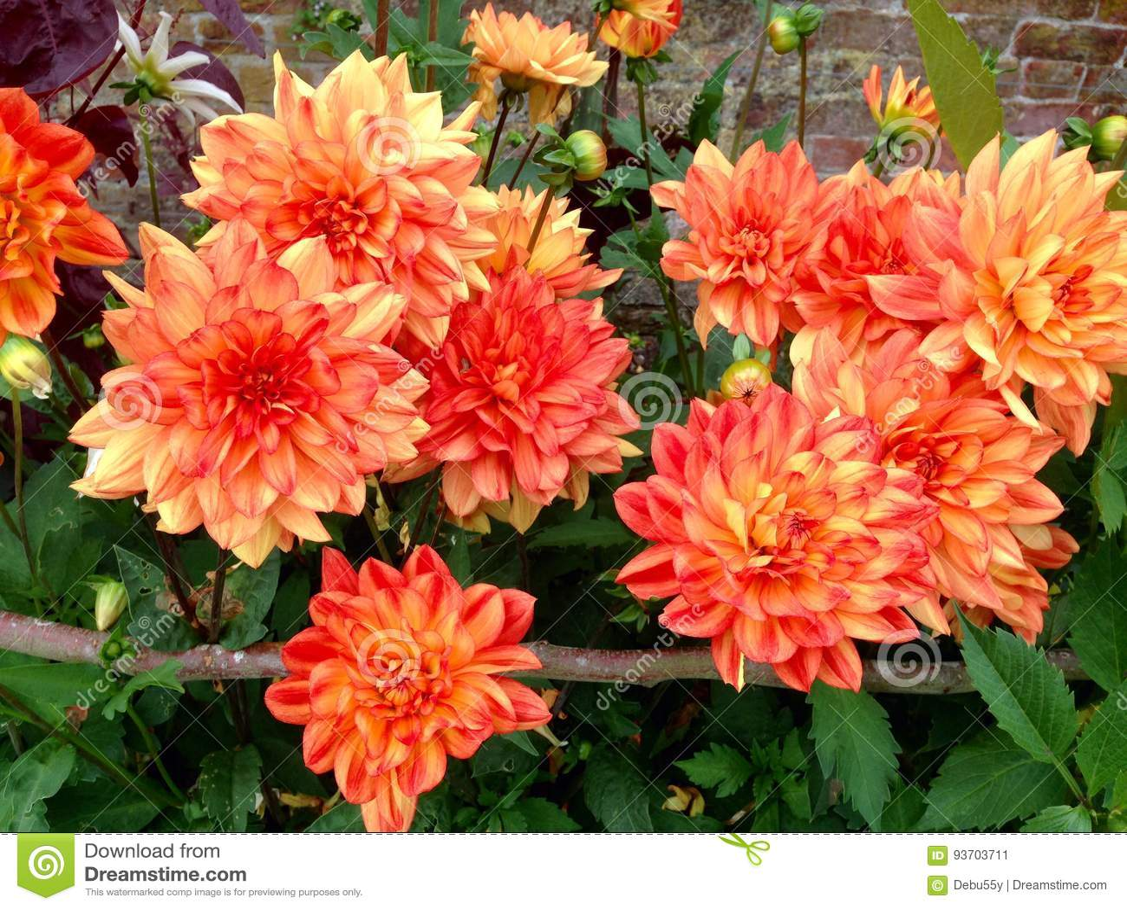 Large Orange Dahlia Flower Heads In A Garden Stock Image Image Of