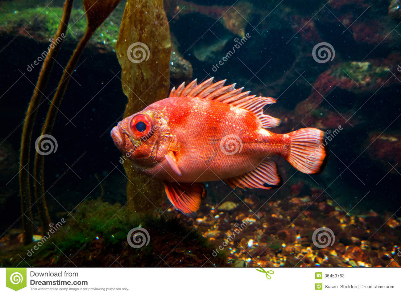 Large orange fish stock image image of live horizontal for Large ocean fish
