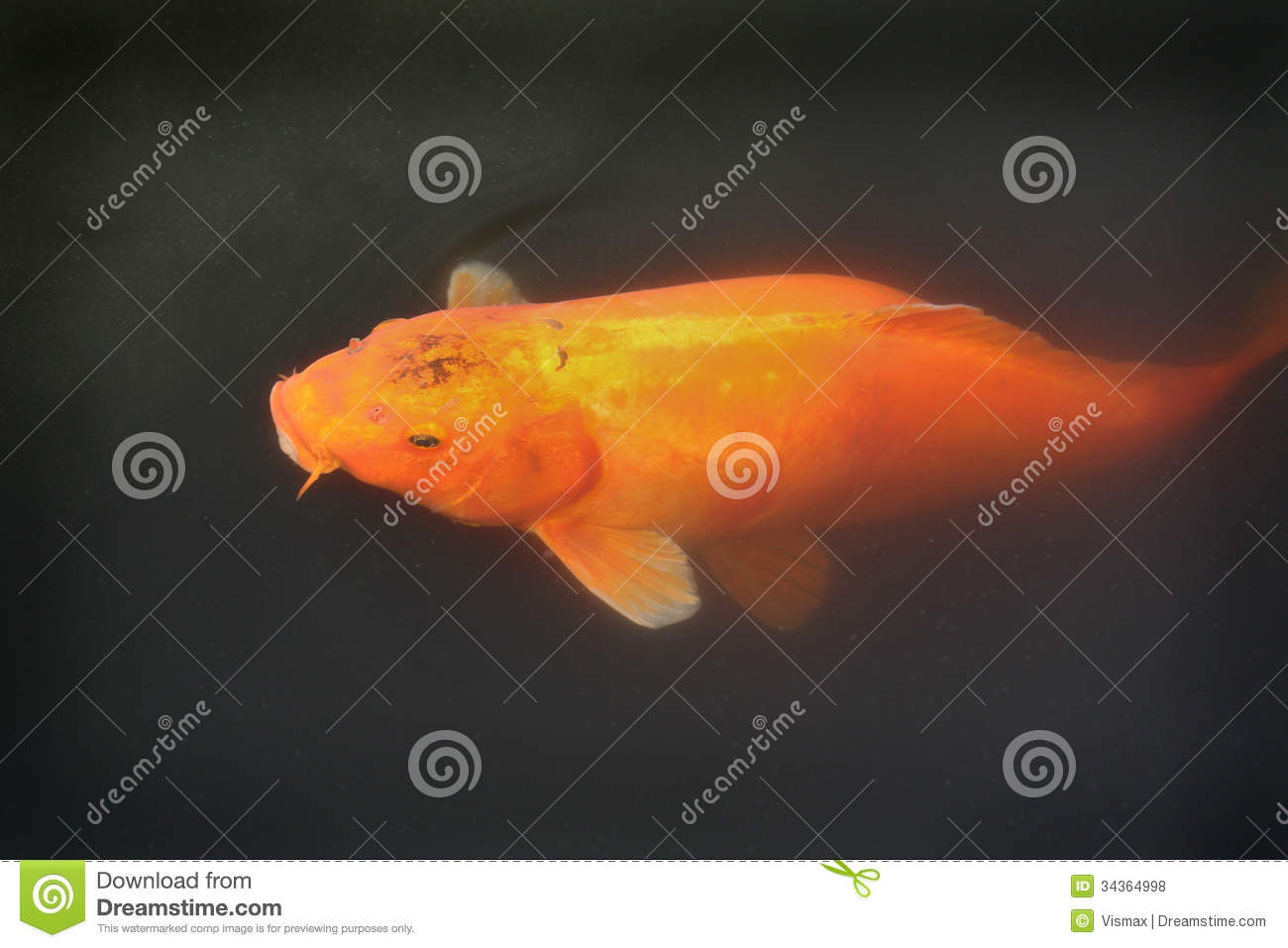 Large orange koi royalty free stock photos image 34364998 for Surface fish ponds