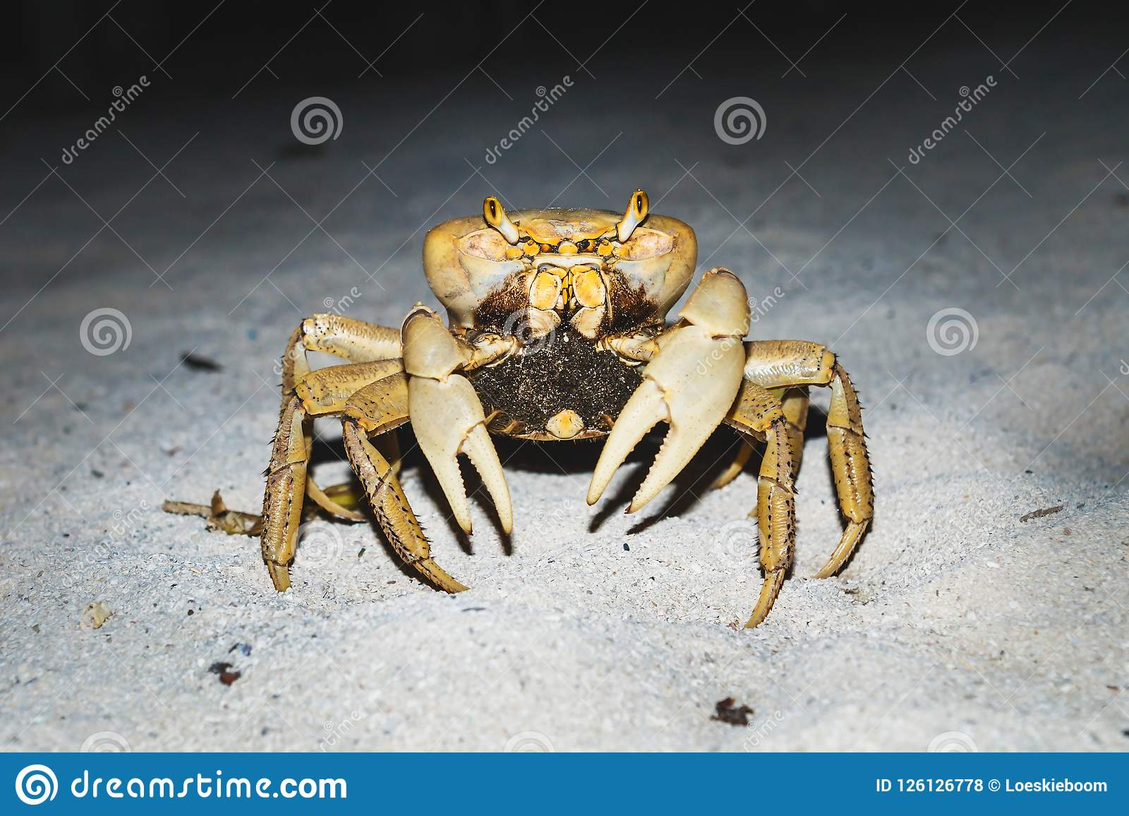 Large orange yellow crab in the night at the beach in Caye Caulker, Belize
