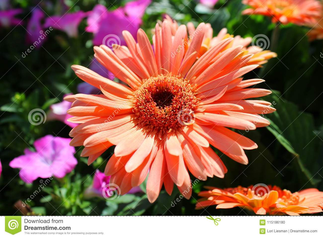 A large peach colored daisy looking flower in a garden stock photo beautiful peach colored flower that looks like a daisy in full bloom in a wildflower garden in the spring izmirmasajfo