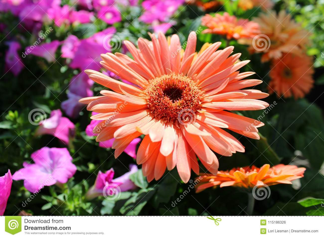 A large peach colored flower that resembles a daisy stock photo close up of a large peach colored flower that looks like a daisy in a field of flowers late in the afternoon izmirmasajfo