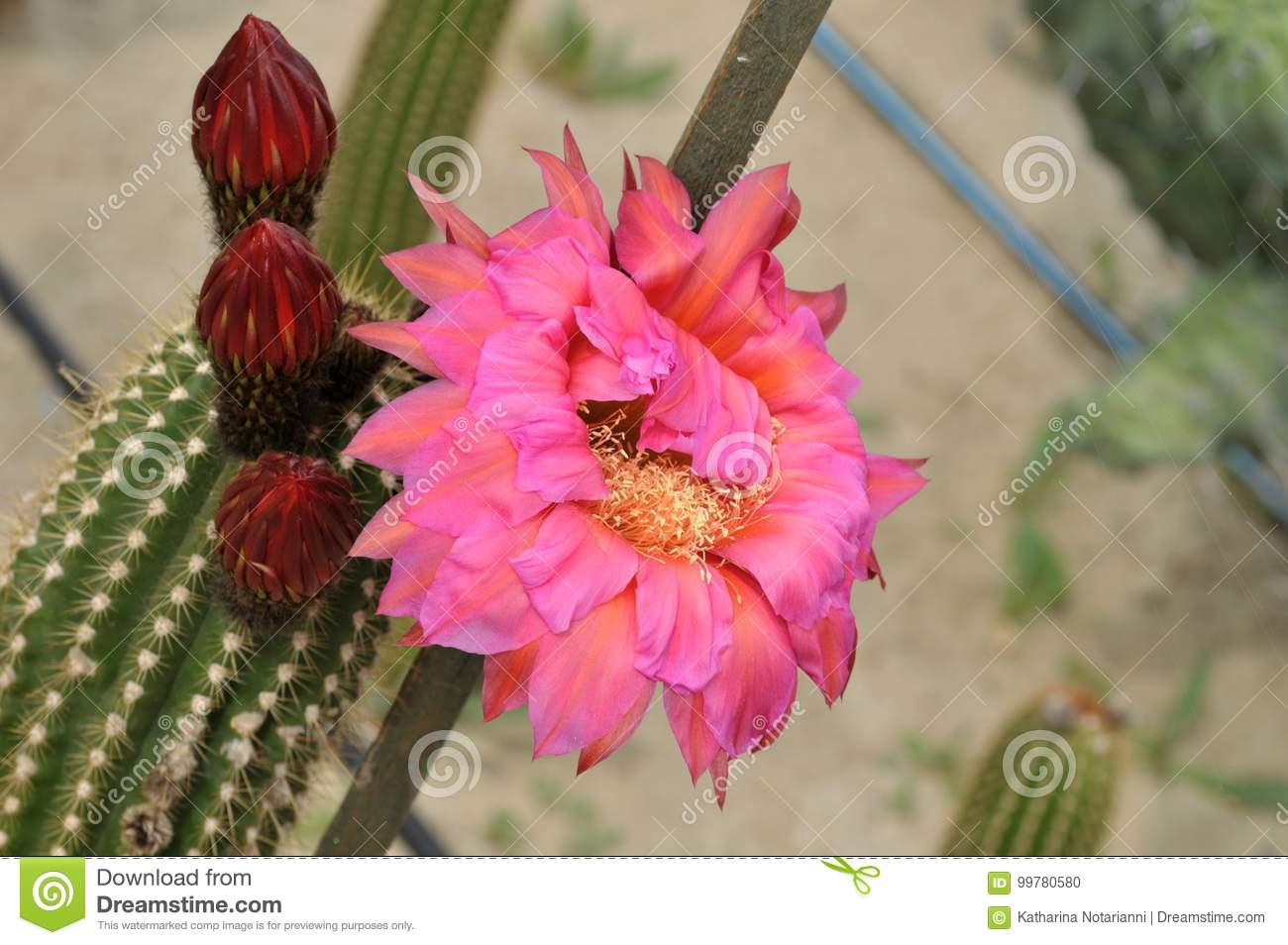 Pink Cactus Flower And Flower Buds Stock Photo Image Of Pink
