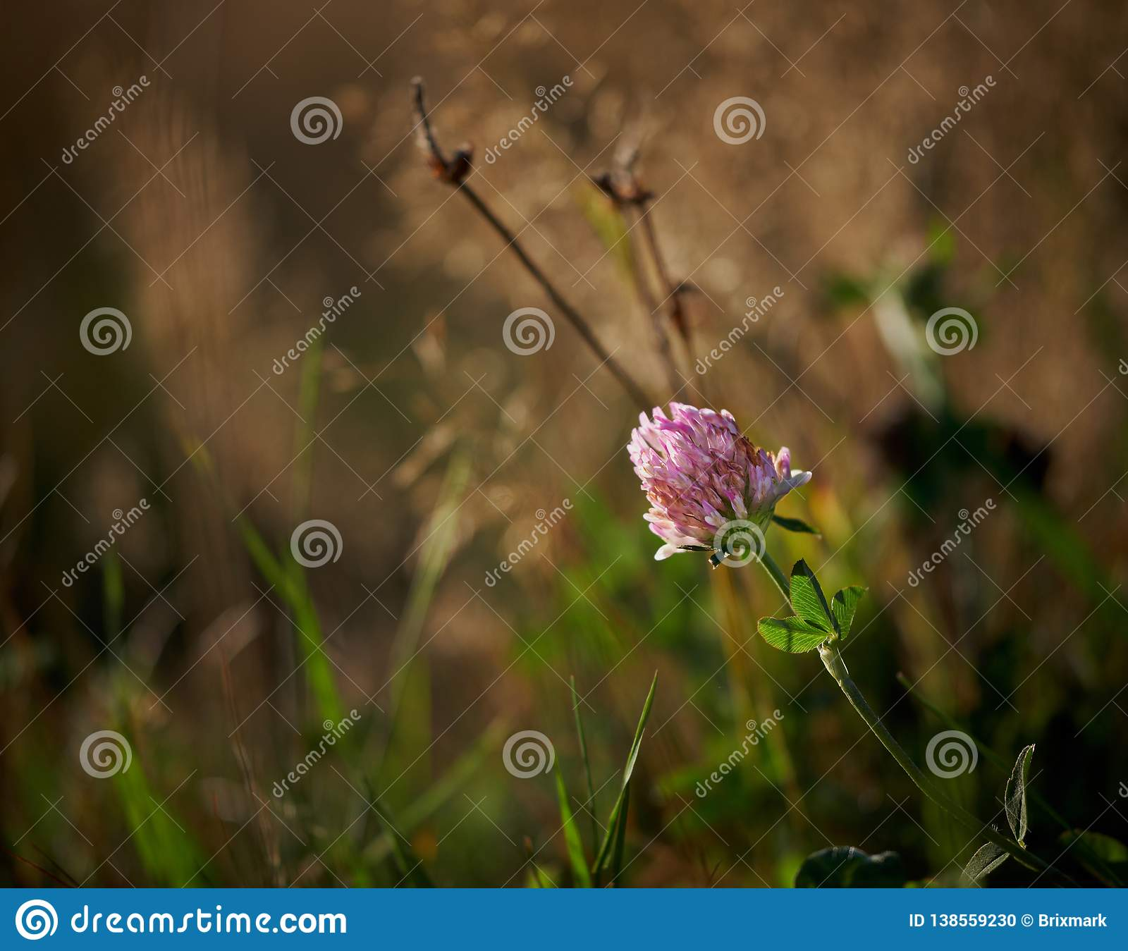 Large pink clover flower tilting