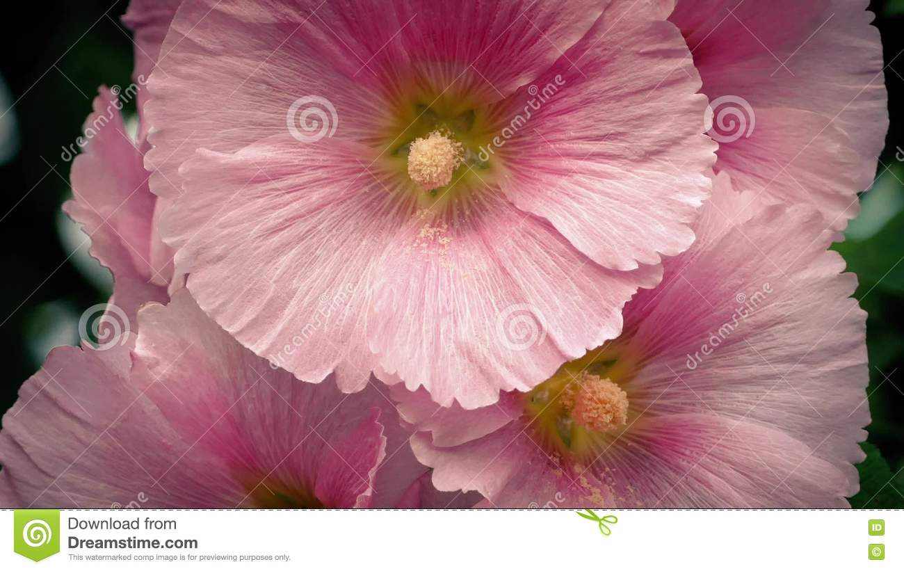 Large pink flowers in breeze closeup stock video video of floral large pink flowers in breeze closeup stock video video of floral petal 74263819 mightylinksfo