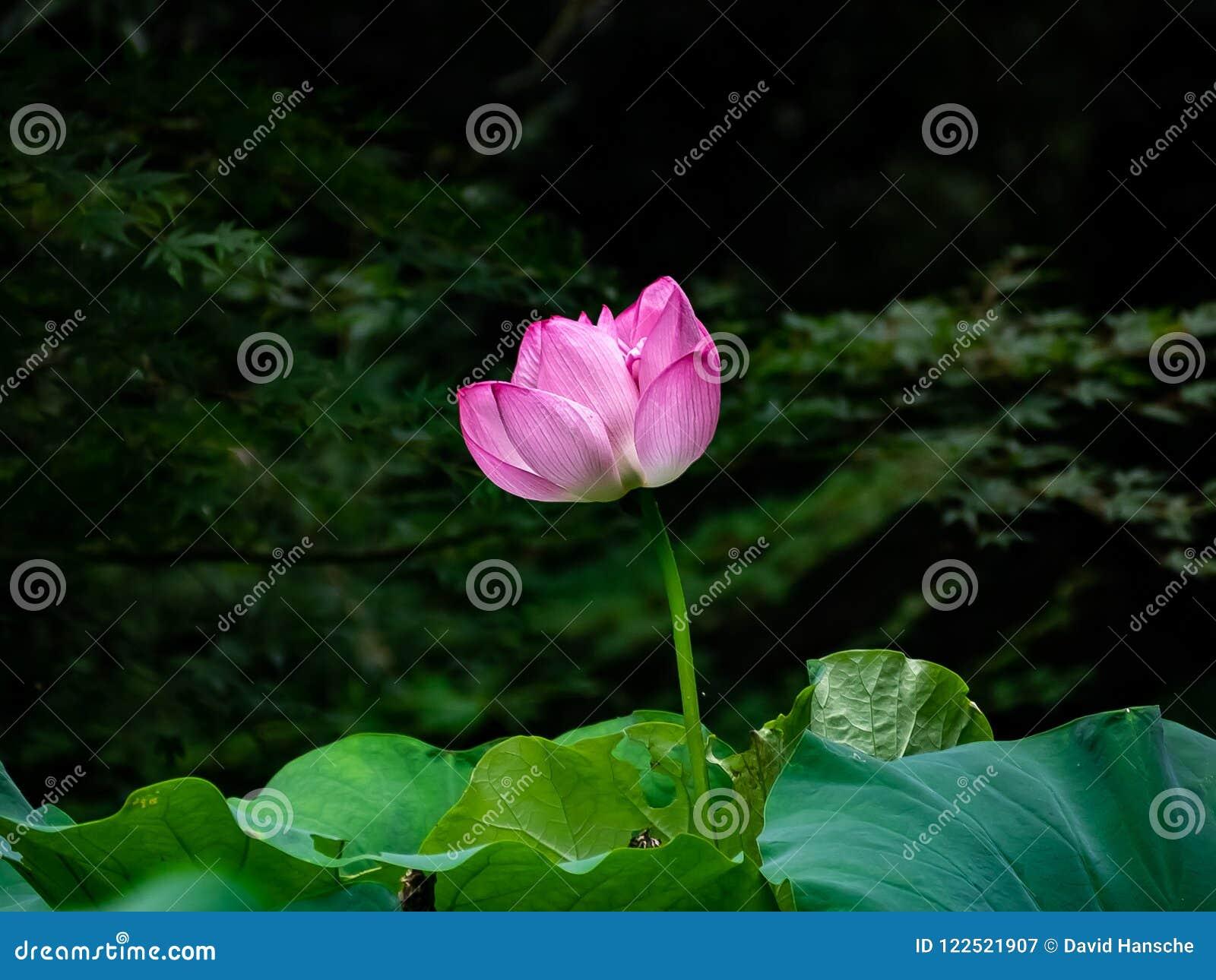 Large Pink Lotus Flower Opening In A Japanese Wetland Stock Image