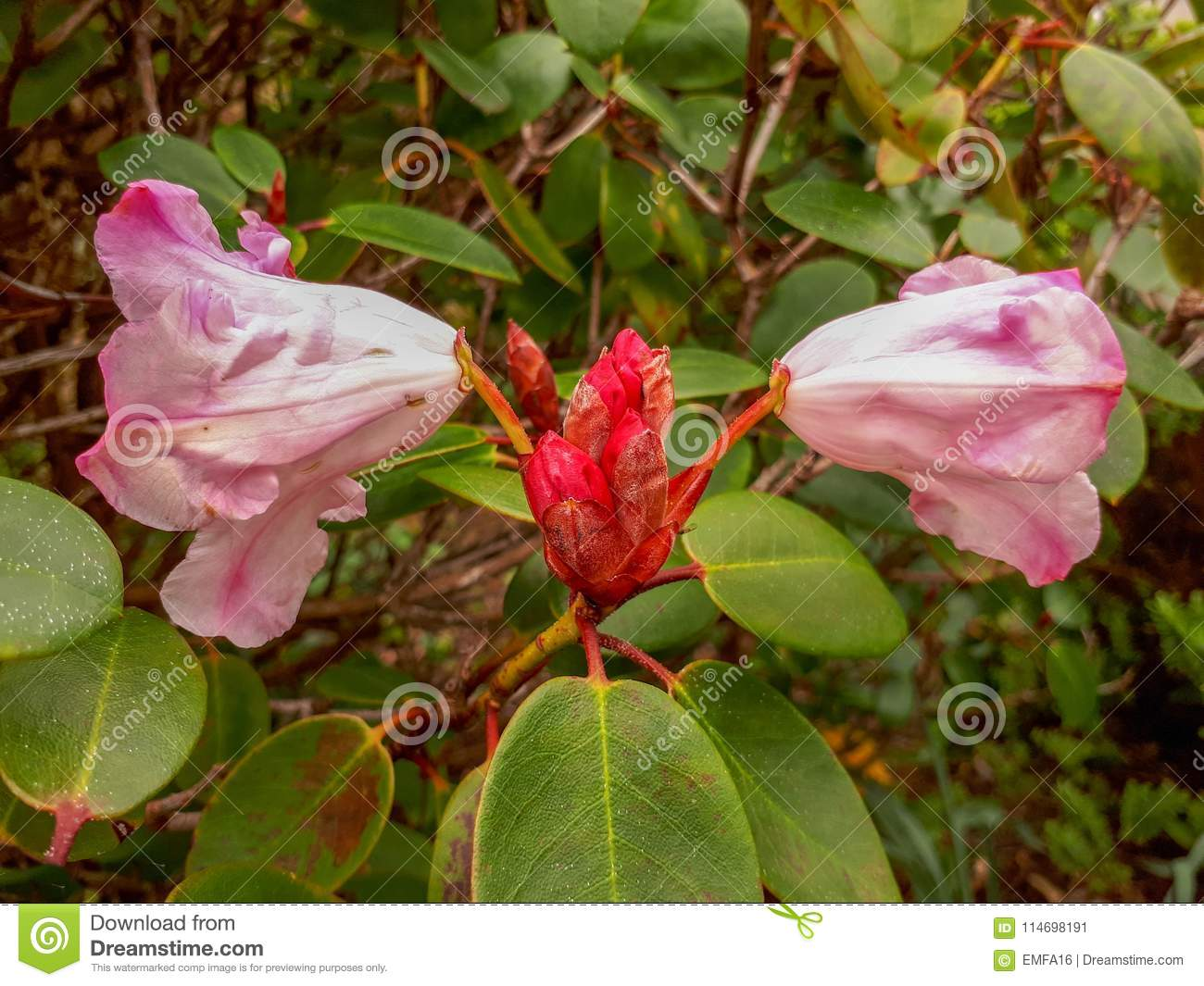 Large Pink And White Rhododendron Flowers In A Bush Stock Image