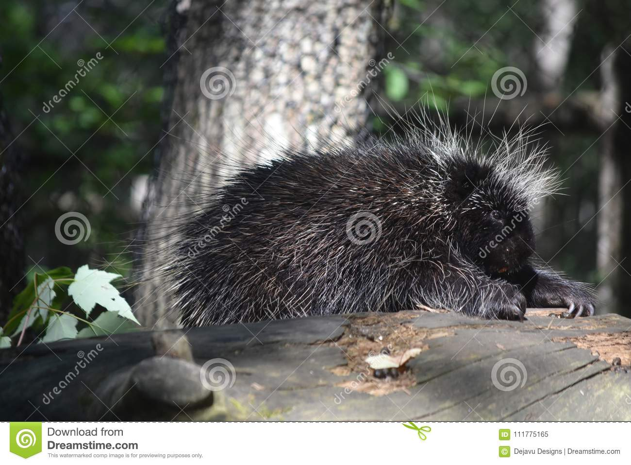 North American Porcupine climbing over a log in the woods