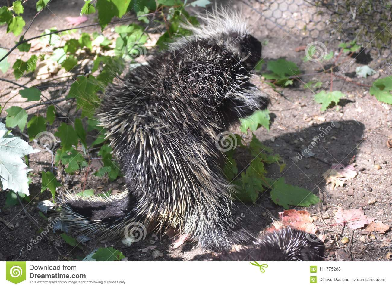 Wild porcupine walking away from the camera