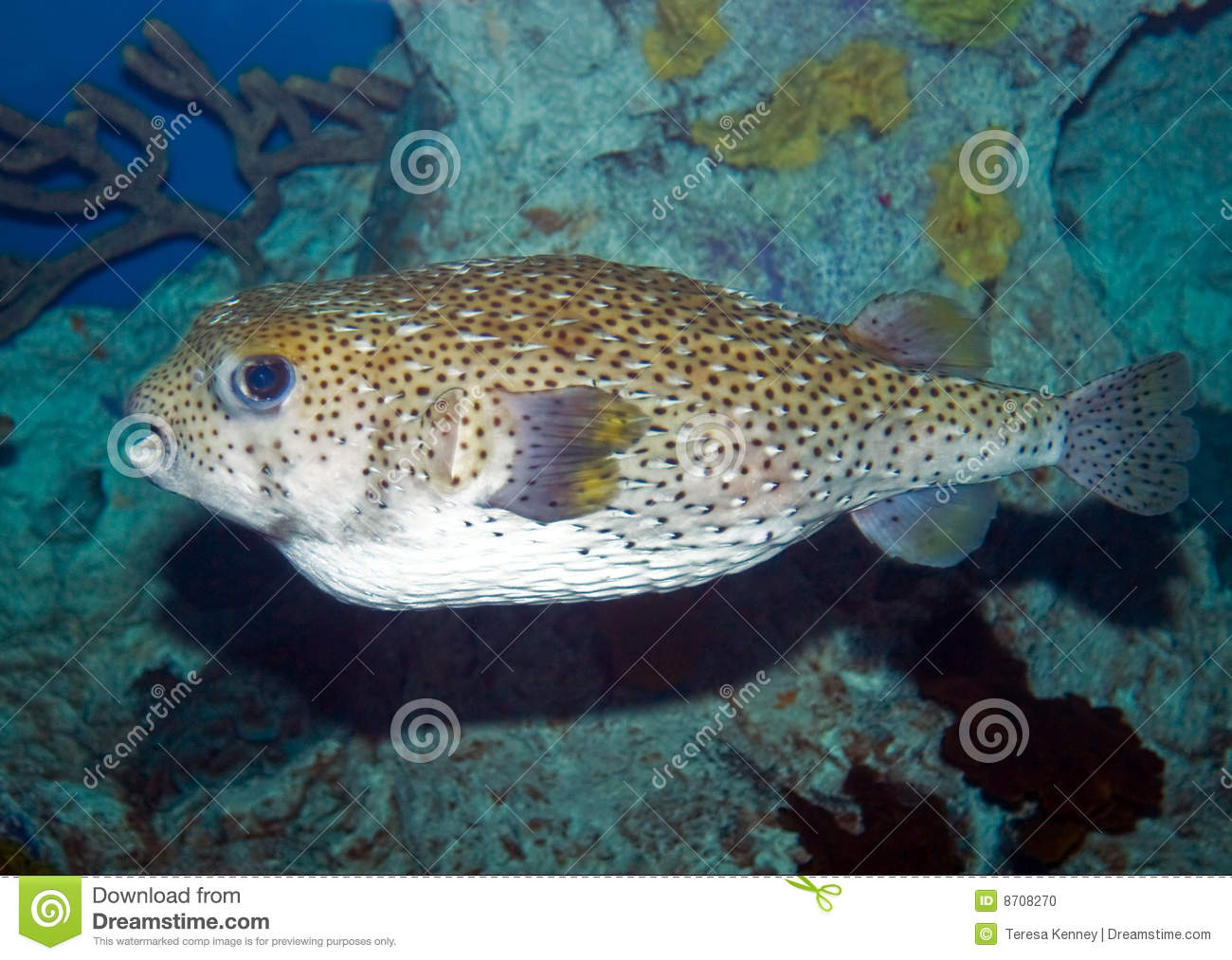 Large puffer fish stock photo image 8708270 for Giant puffer fish