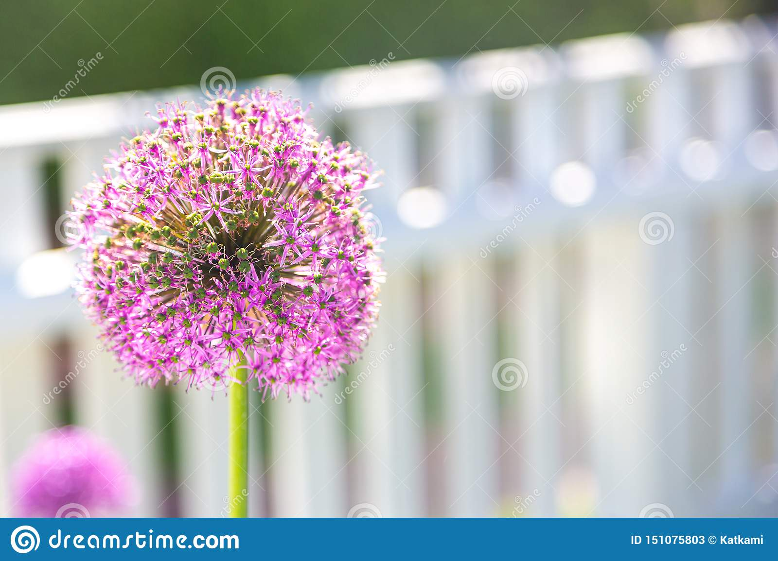 Large purple allium flower in front of white picket fence