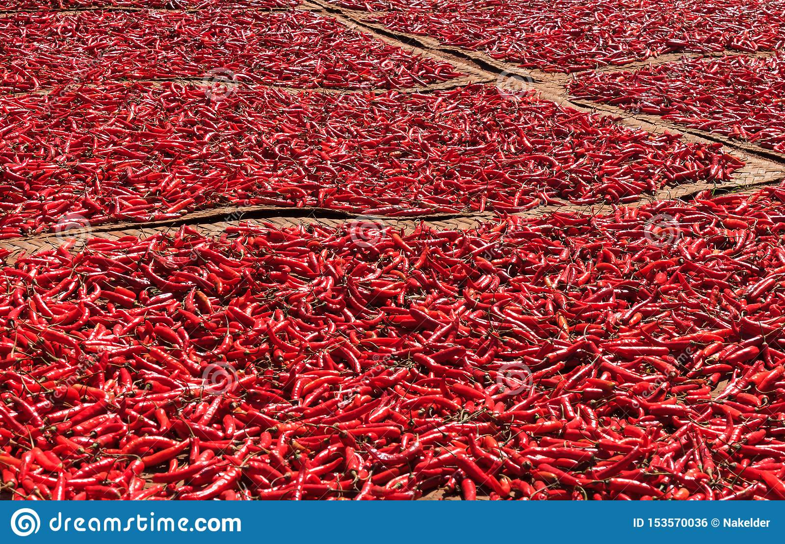 Red chilli peppers drying in the sun