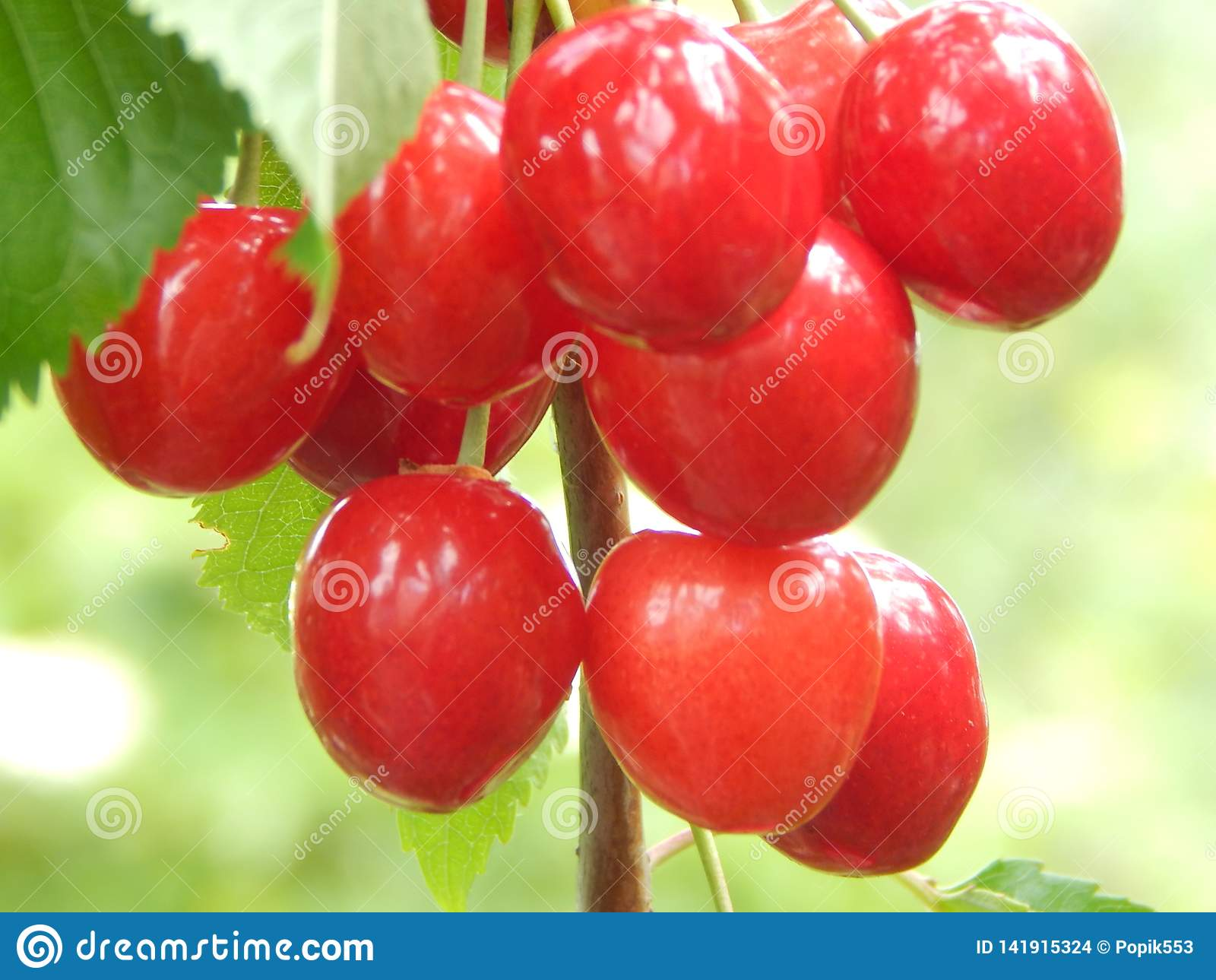 A large, red berry sweet cherry ripened and ready for use.