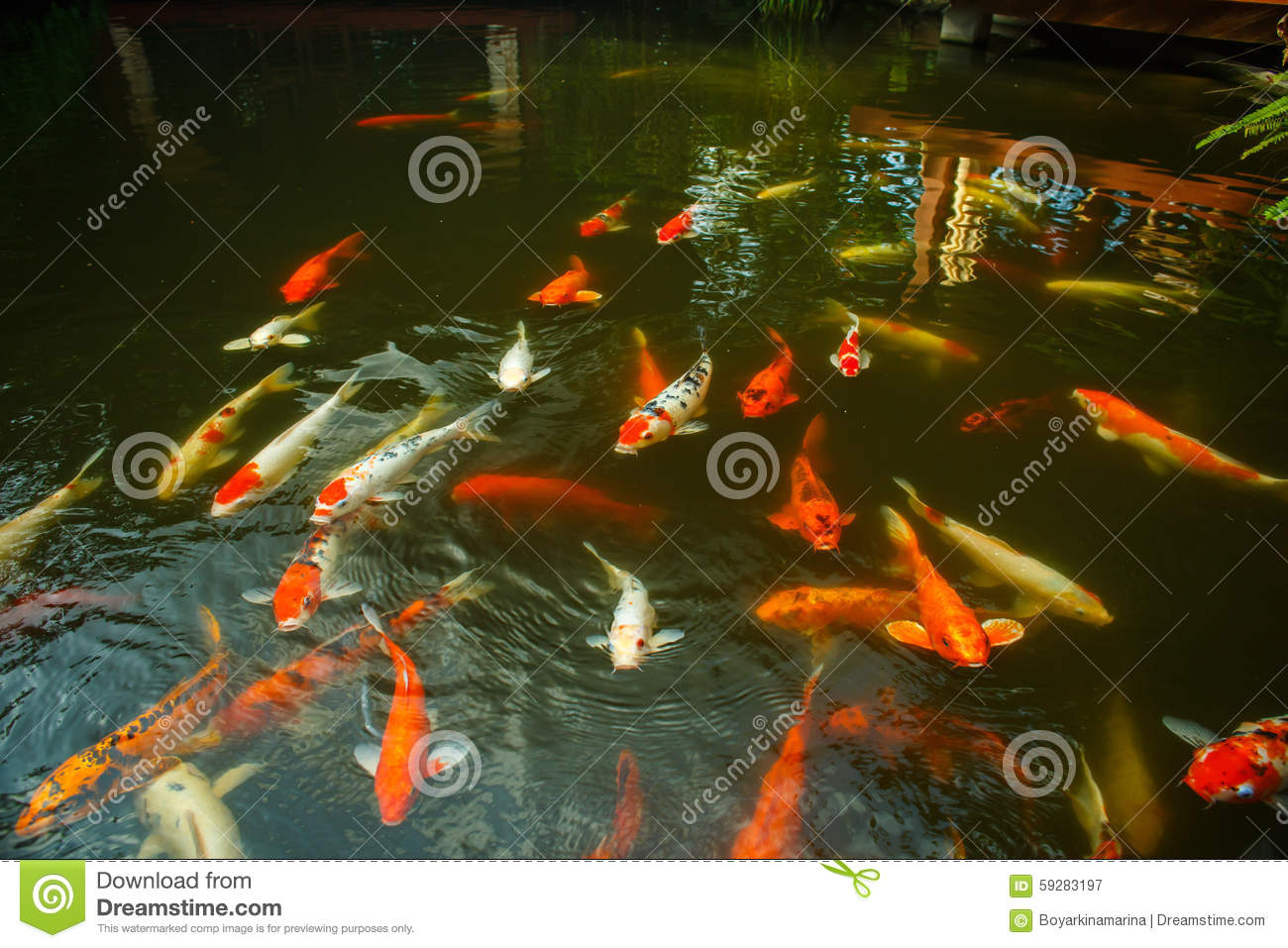Large red fish in the pond stock photo image 59283197 for Biggest koi pond