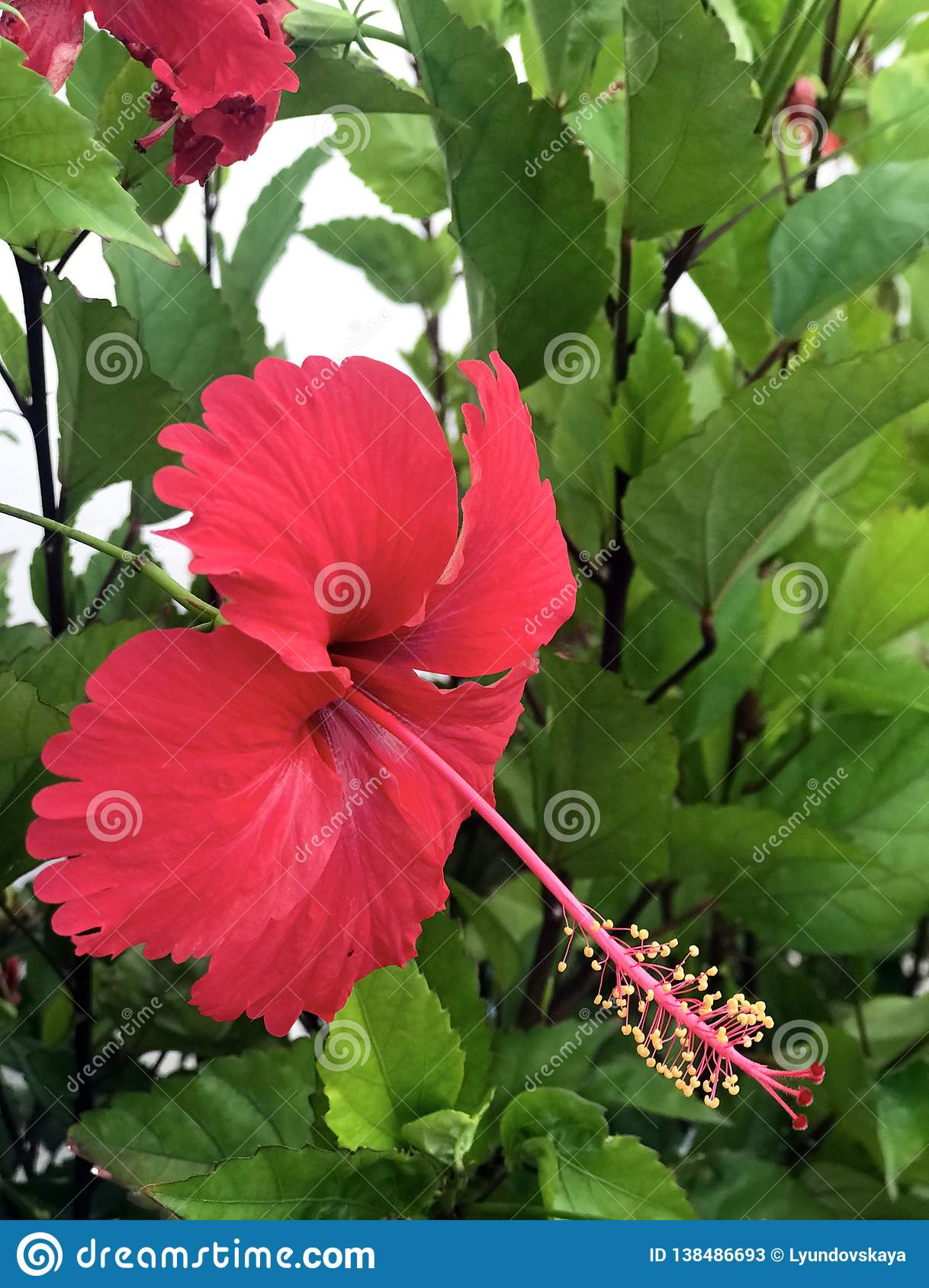 Large Red Hibiscus Flower Hibiscus Stock Image Image Of Exotic