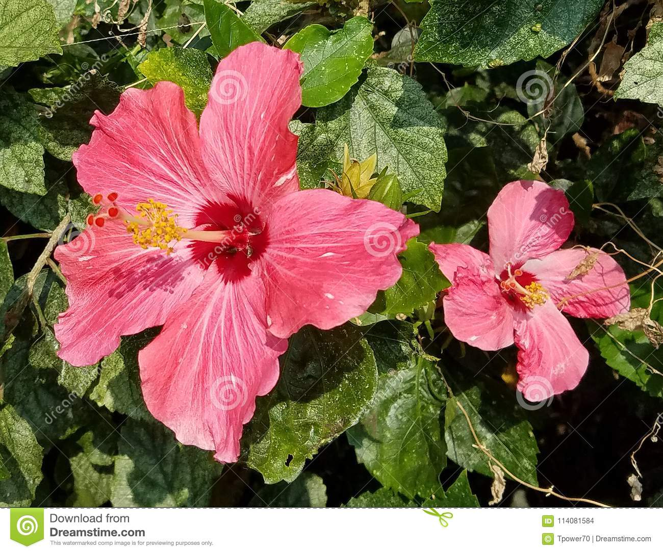 Large Red Hibiscus Flowers Stock Photo Image Of Island 114081584