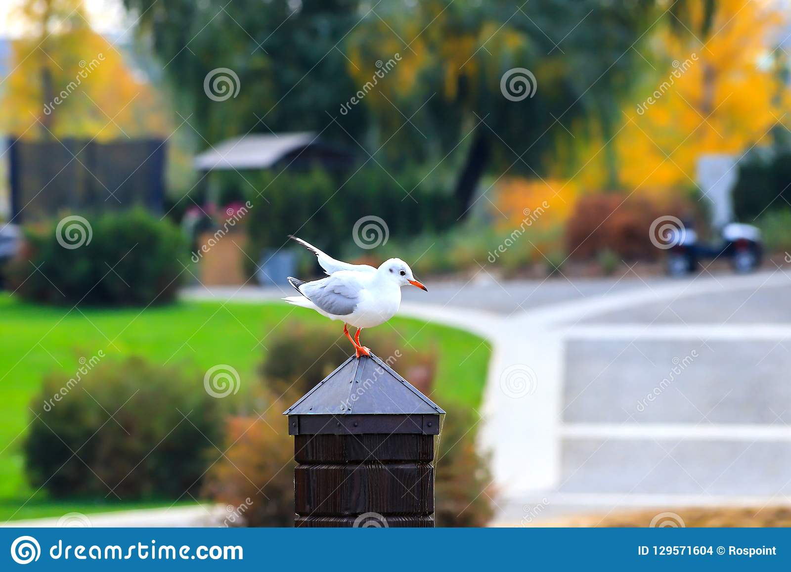 A large river white gull sits on a wooden post against the background of an autumn park with yellow trees.